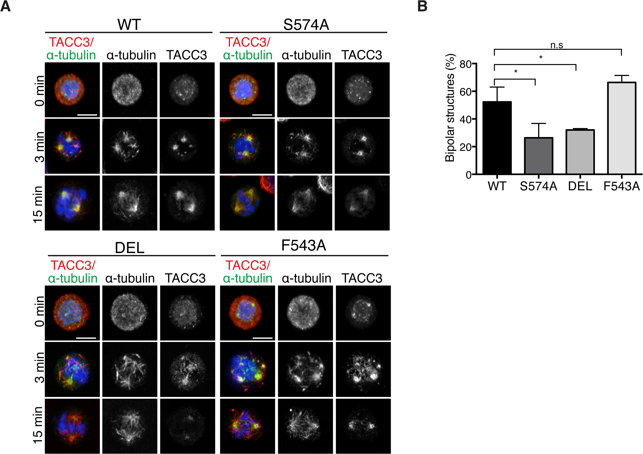 The appearance of bipolar spindles is delayed in S574A and DEL cells following MT regrowth.