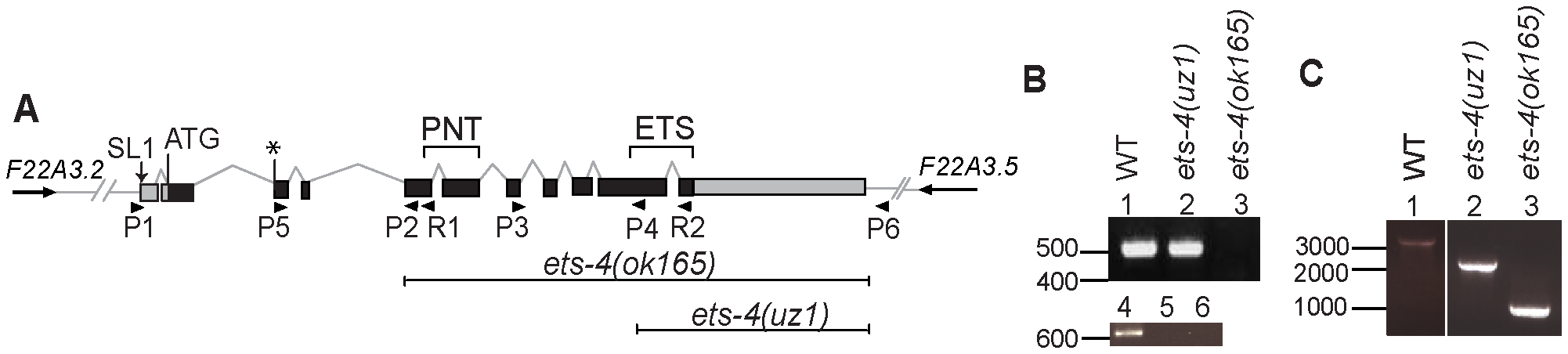 Schematic of <i>ets-4</i> gene structure and gene deletion analysis.