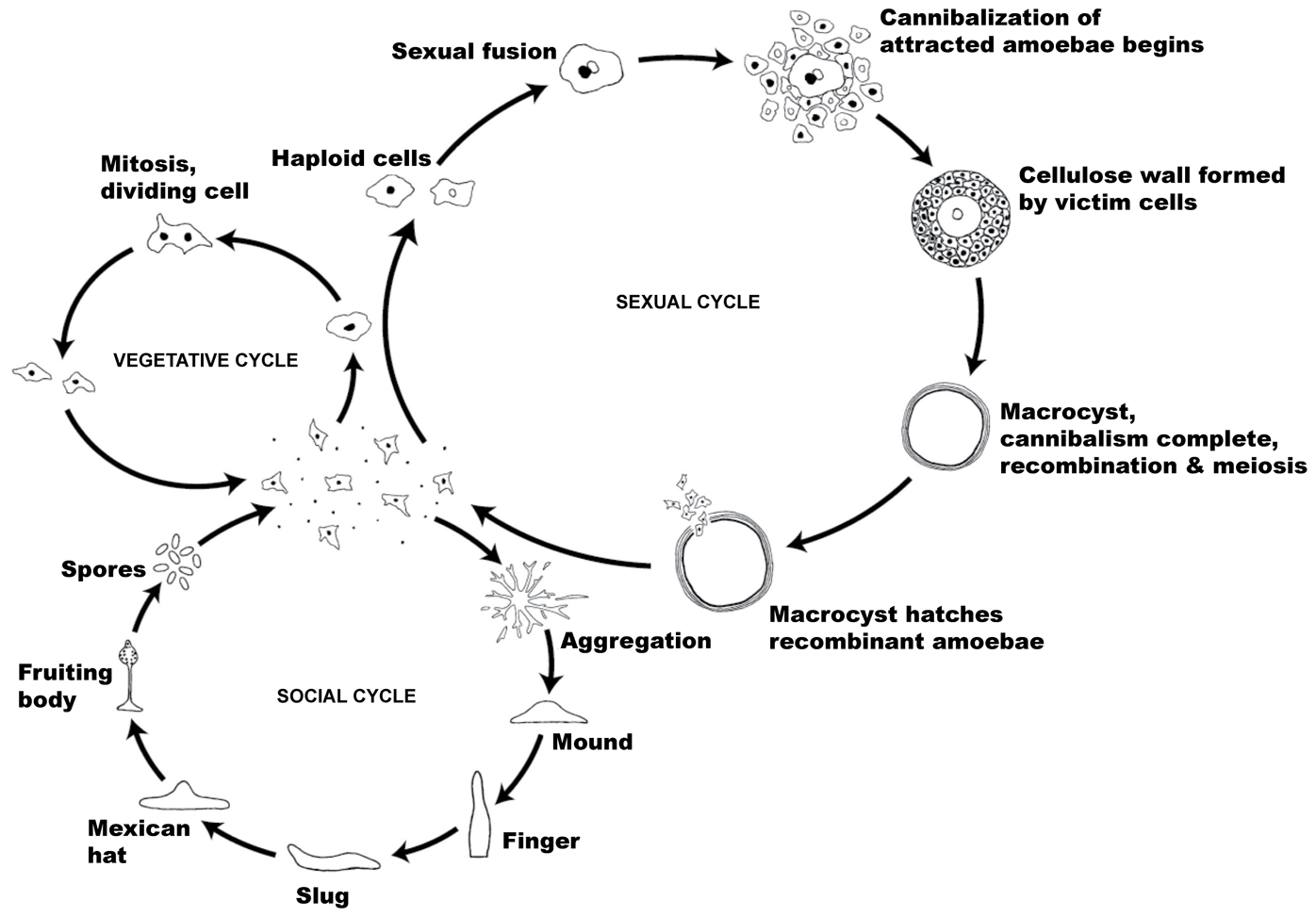 The life cycle of <i>Dictyostelium discoideum</i>.