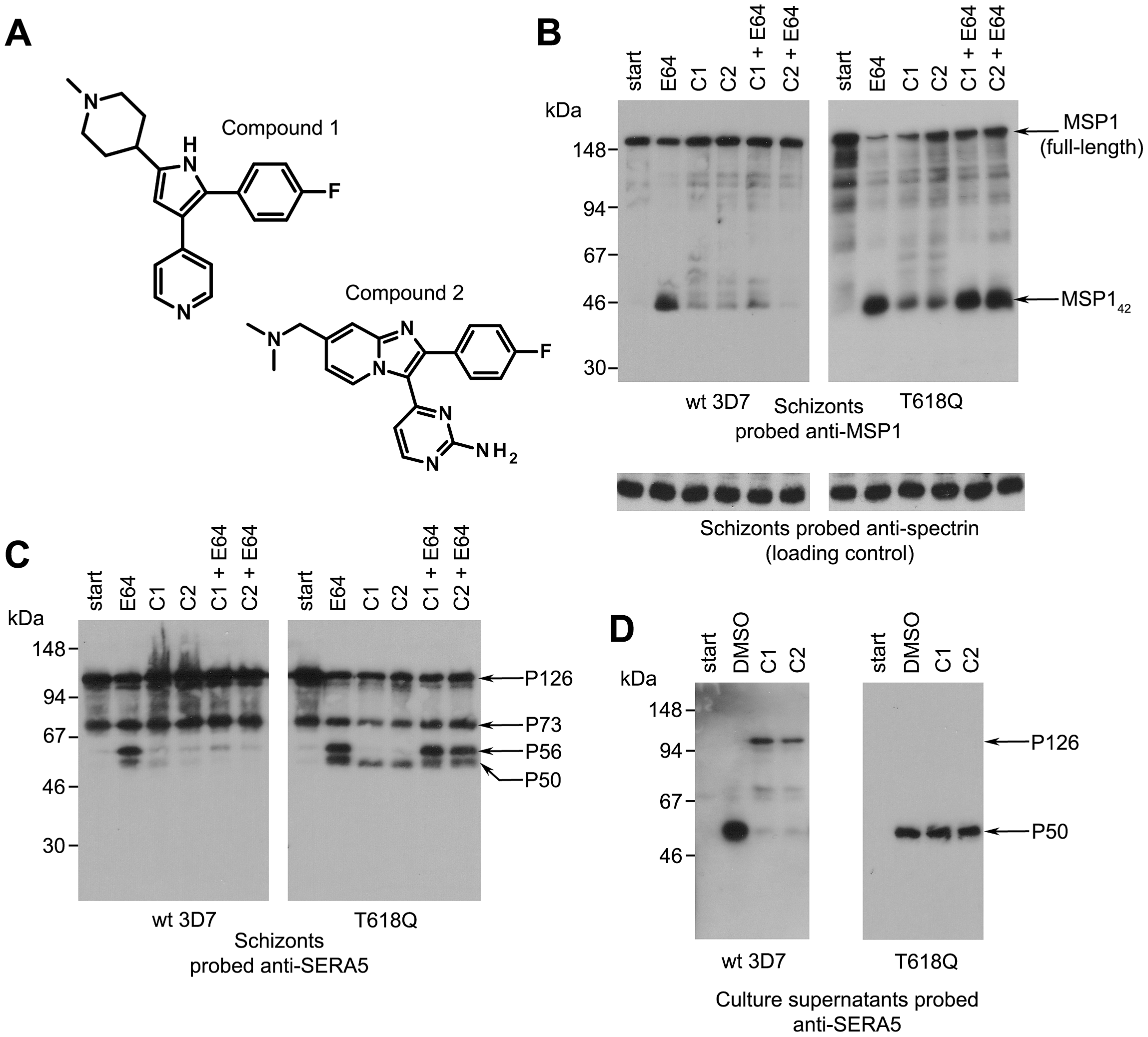 Structurally distinct PfPKG inhibitors block PfSUB1-mediated proteolytic processing in <i>P. falciparum</i>.