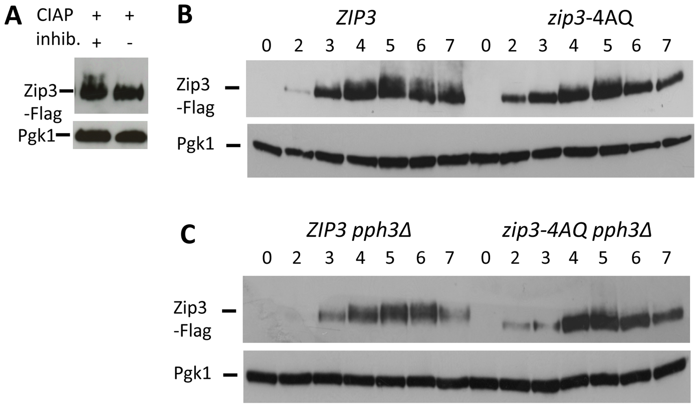 Zip3 phosphorylation depends on one or more S/T-Q Tel1/Mec1 kinases consensus phosphorylation sites and persists in a <i>pph3Δ</i> phosphatase mutant.