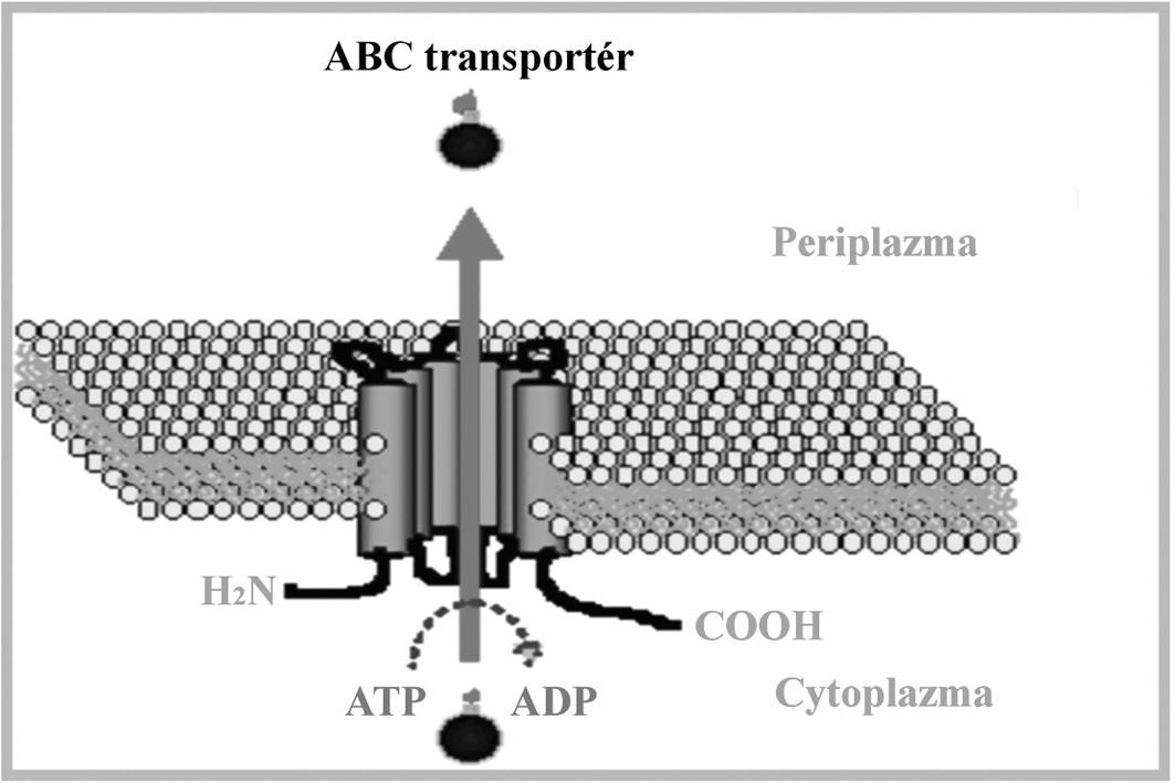 "Schématické znázornenie ABC transportného systému. Upravené podľa: (<a href=""http://www.ucm.es/info/mfar/U2/antifu2.gif"">http://www.ucm.es/info/mfar/U2/antifu2.gif</a>). Fig. 2. Diagrammatic representation of the ABC transport system. Adapted from: (<a href=""http://www.ucm.es/info/mfar/U2/antifu2.gif"">http://www.ucm.es/info/mfar/U2/antifu2.gif</a>)."