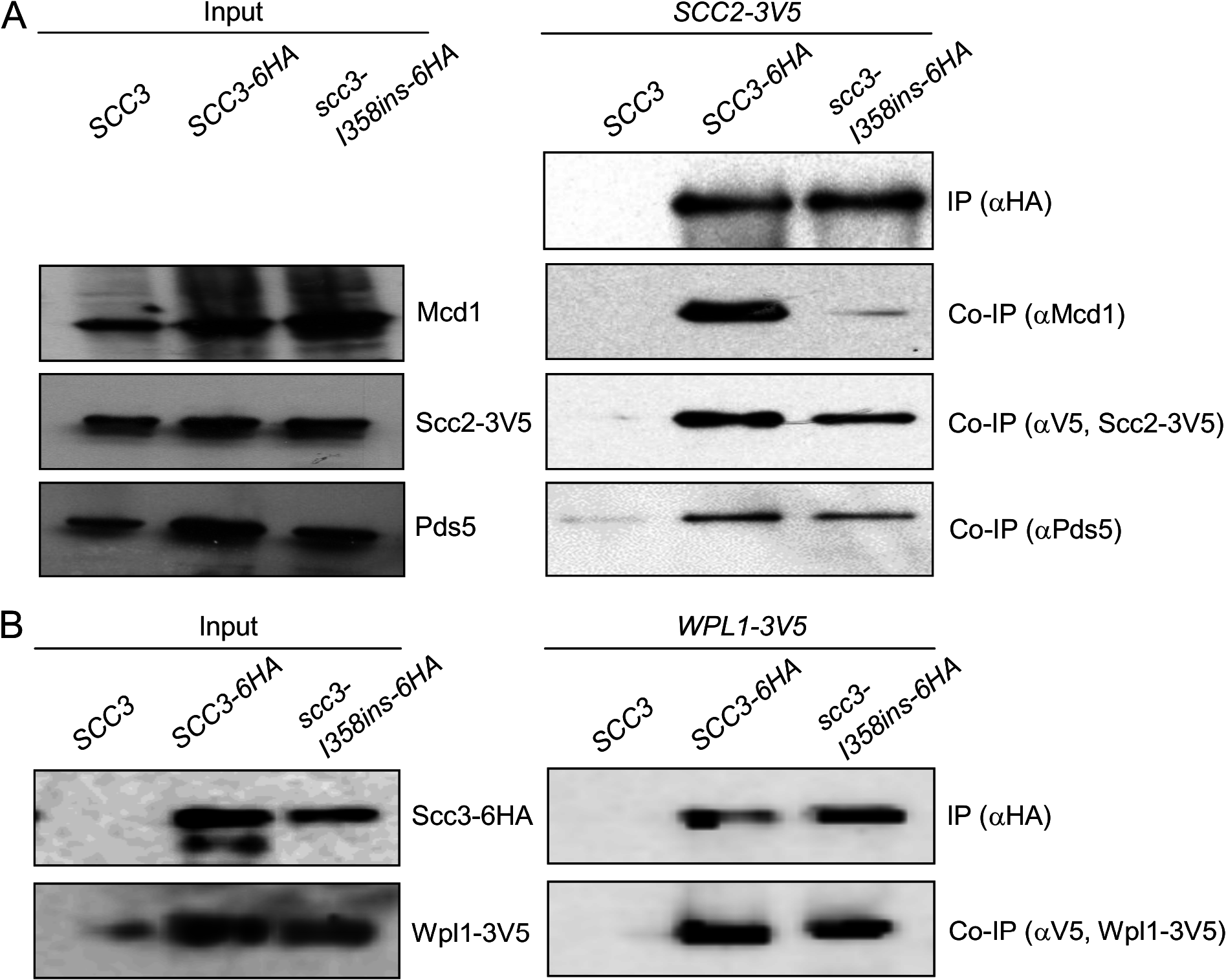 Co-immunoprecipitation of Scc3-I358Ins with core and accessory cohesin subunits.