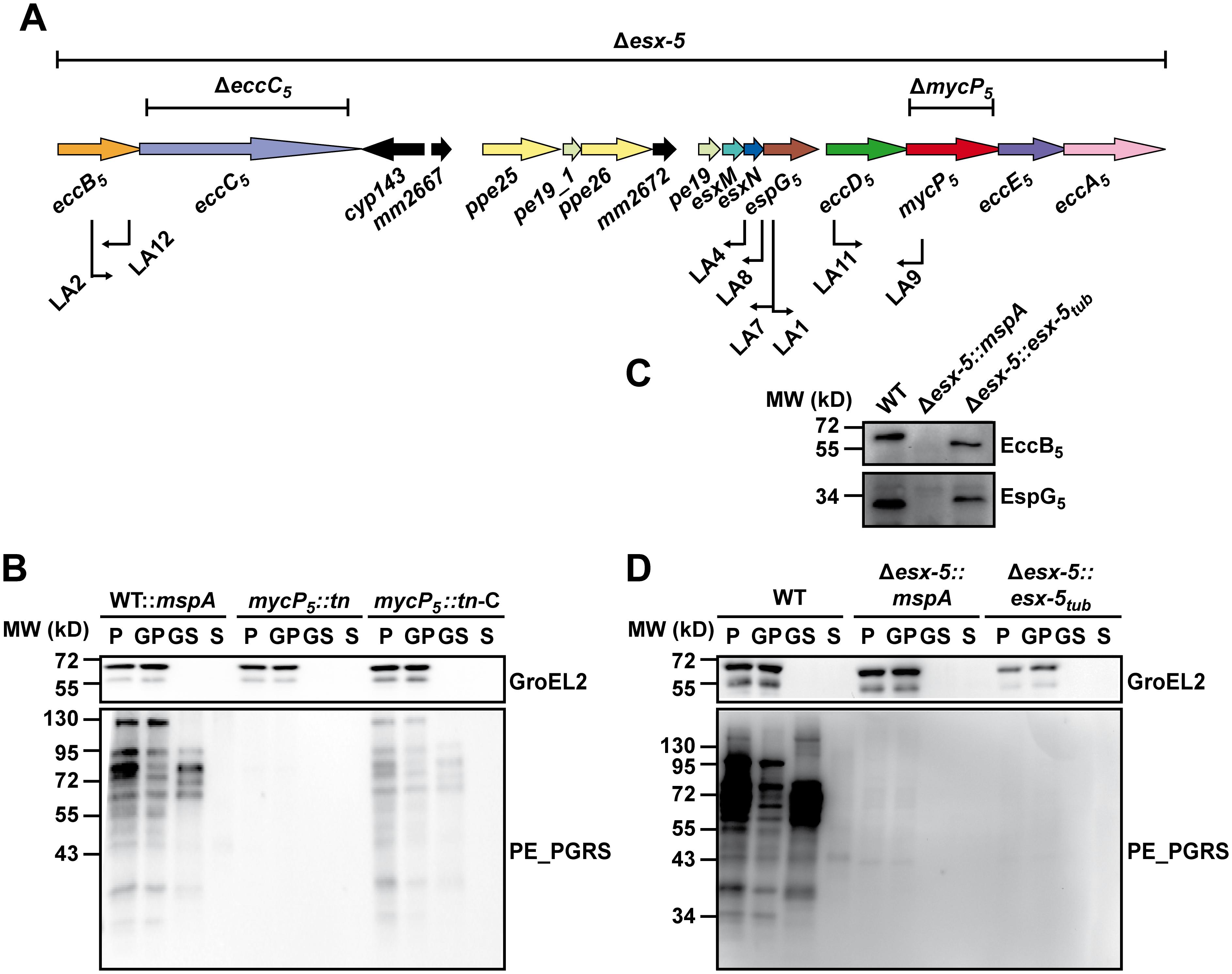 Secretion analysis of ESX-5 mutant strains.