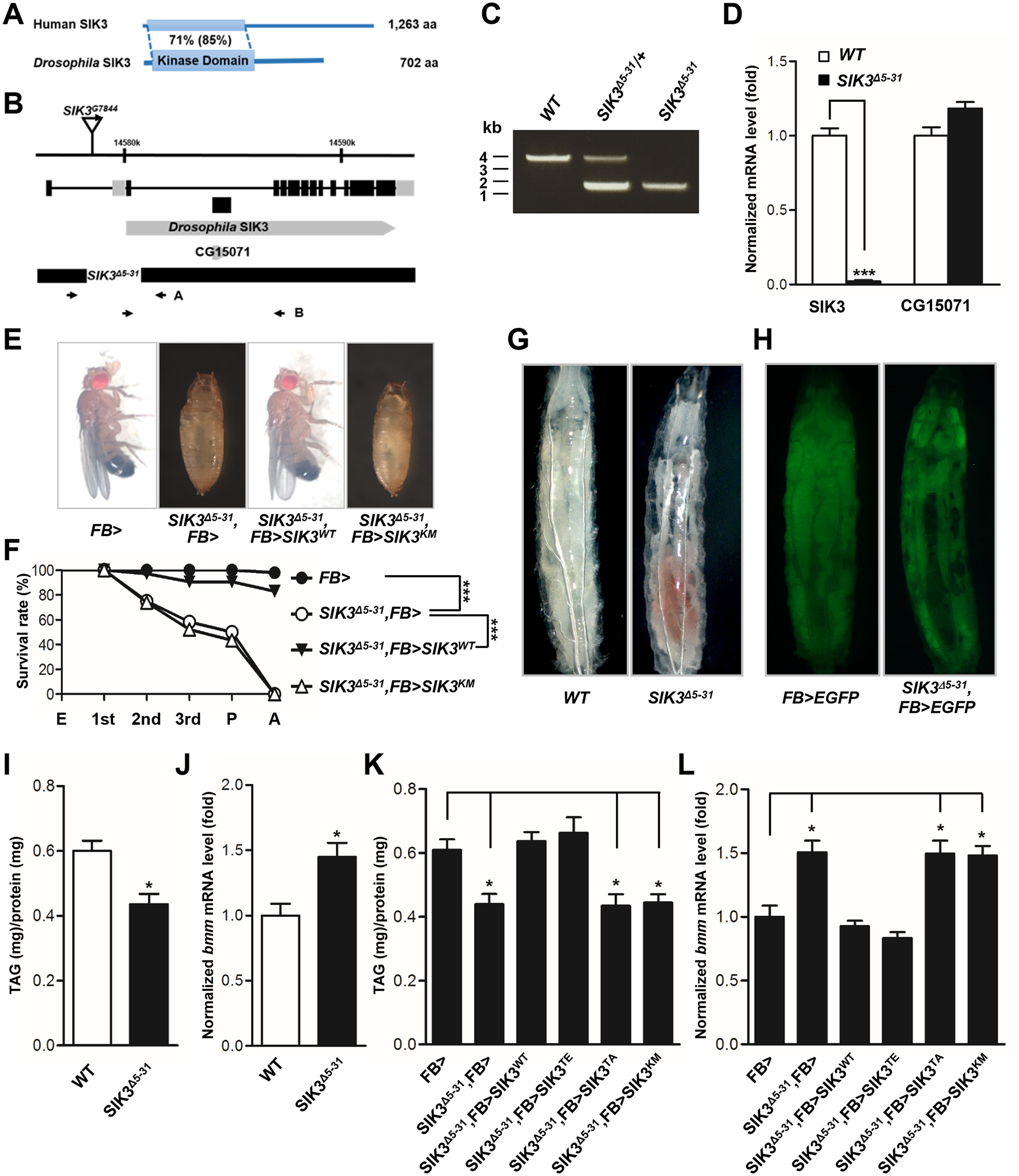 SIK3 null mutant is defective in lipid homeostasis and storage.