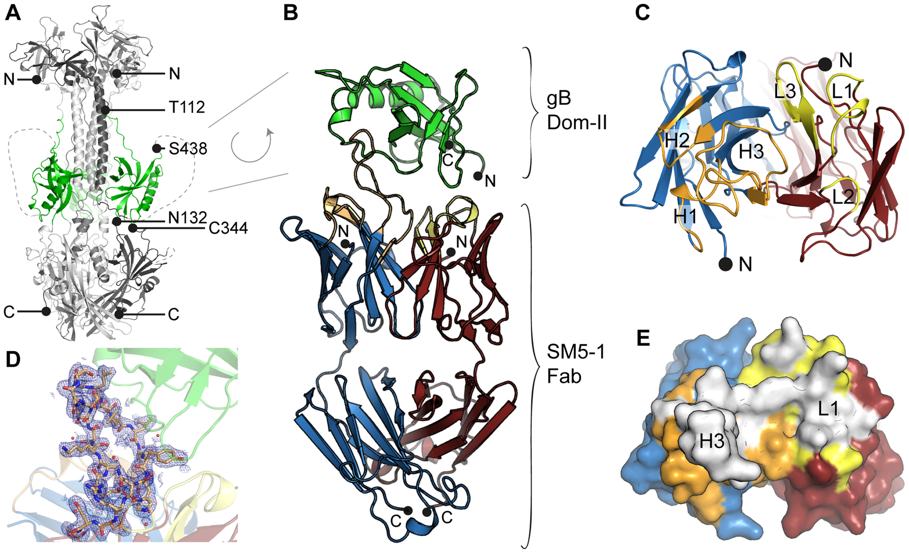 HCMV gB Dom-II recognition by antibody SM5-1.