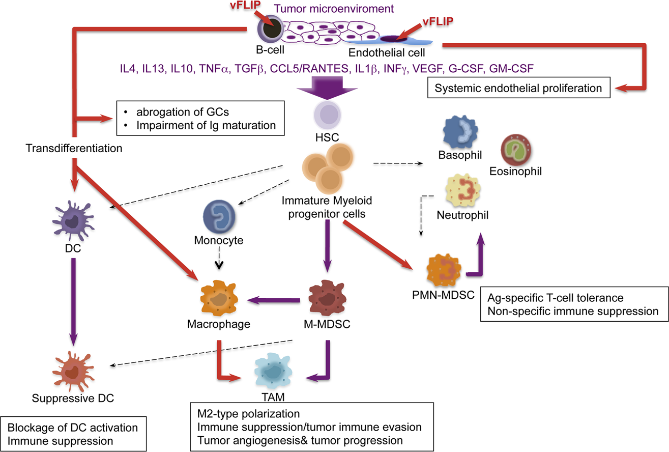 Model of KSHV vFLIP-mediated tumorigenesis through endothelial alterations, aberrant myeloid differentiation, and chronic proinflammatory changes in the tumor microenvironment.