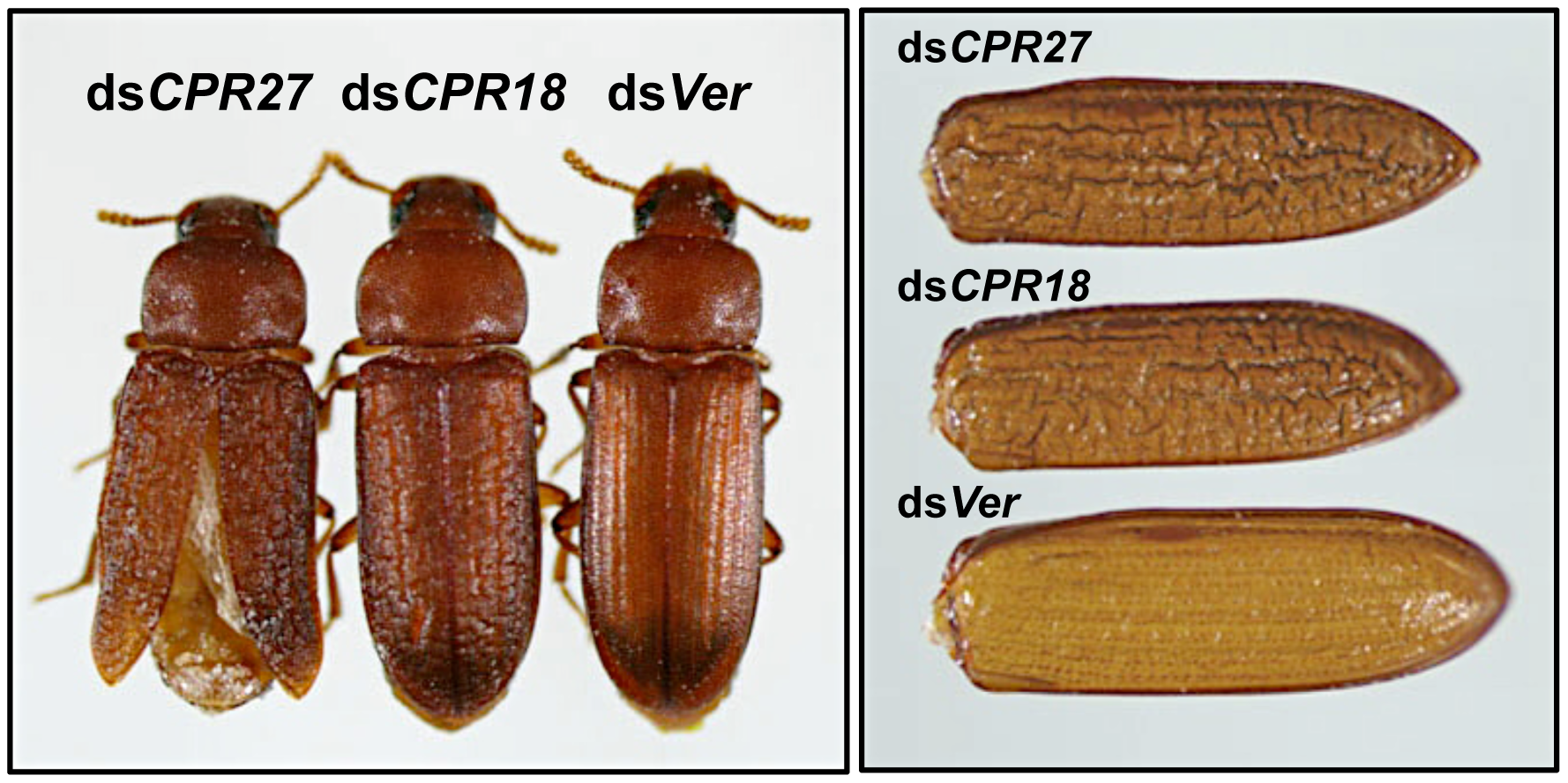 <i>T. castaneum</i> elytral defects produced by injection of dsRNAs for <i>TcCPR27</i> and <i>TcCPR18</i>.