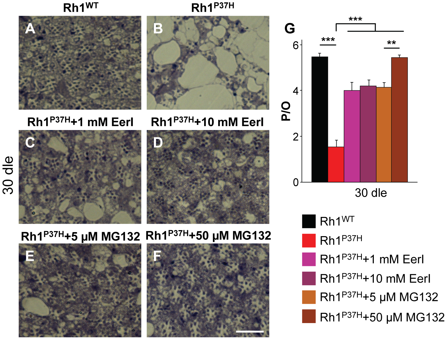 Rescue of <i>Rh1<sup>P37H</sup></i>-induced retinal degeneration after inhibiting the VCP/ERAD (EerI) or the proteasome (MG132) activity.