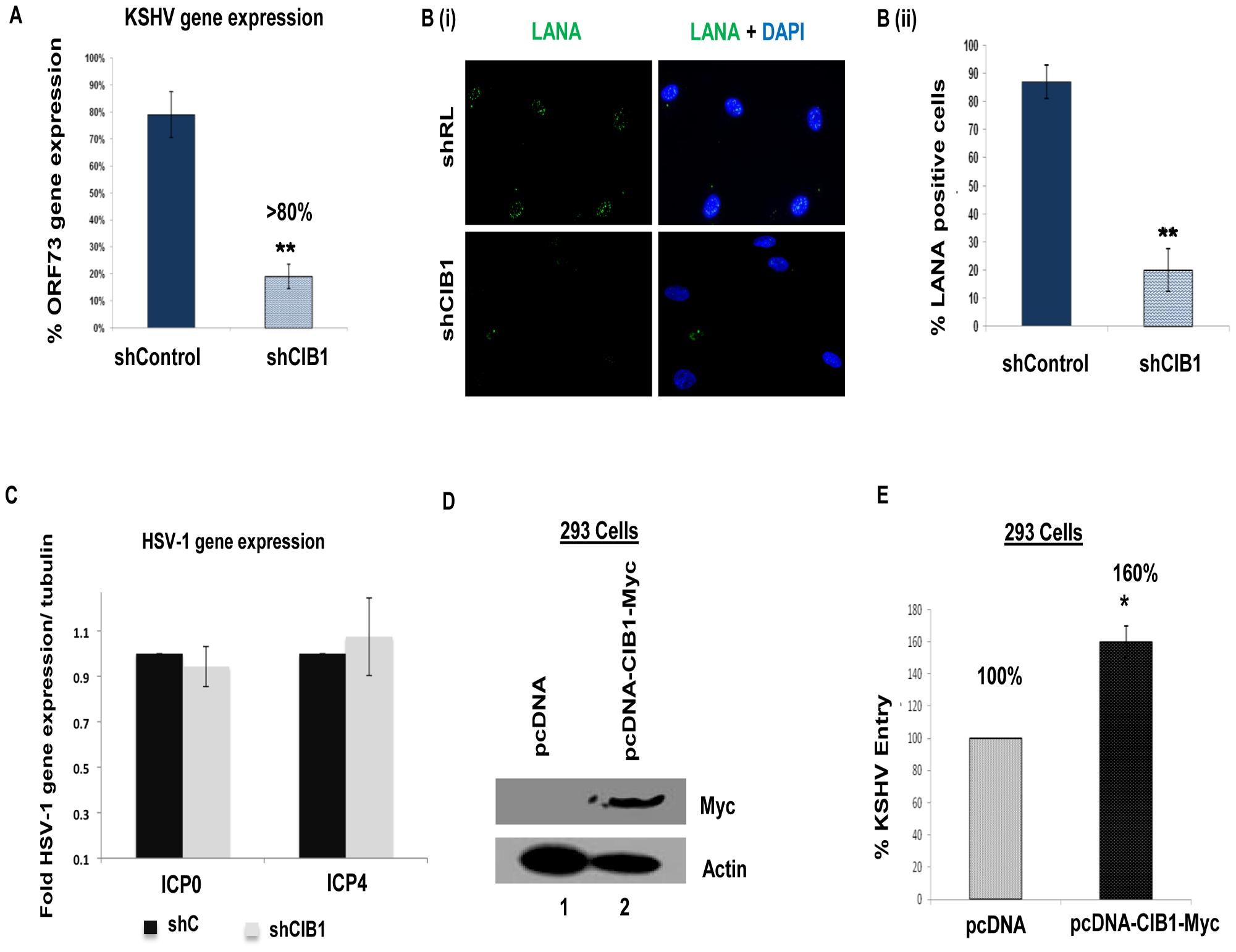 Effect of CIB1 knockdown on <i>de novo</i> KSHV infection.