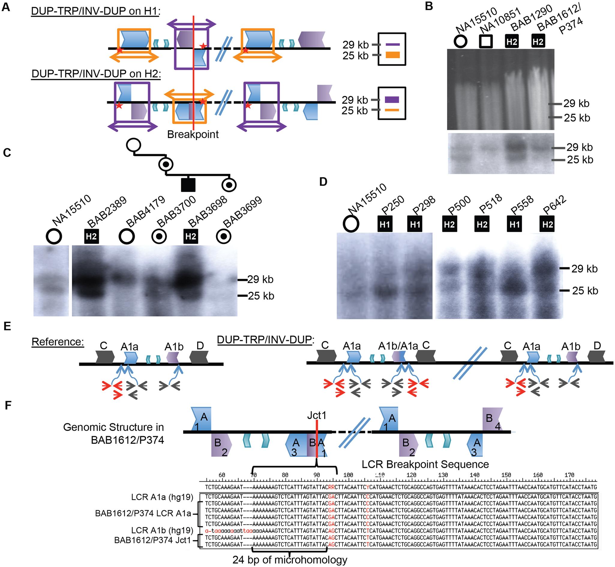 CGRs at the <i>PLP1</i> locus use A1a and A1b repeats.