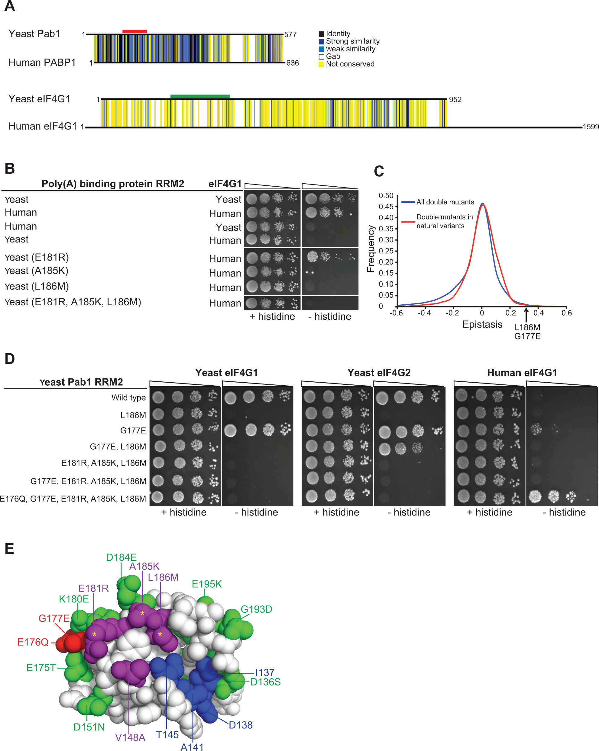 Testing humanizing substitutions for their ability to change the binding specificity of the yeast Pab1 RRM2 to the human eIF4G1.