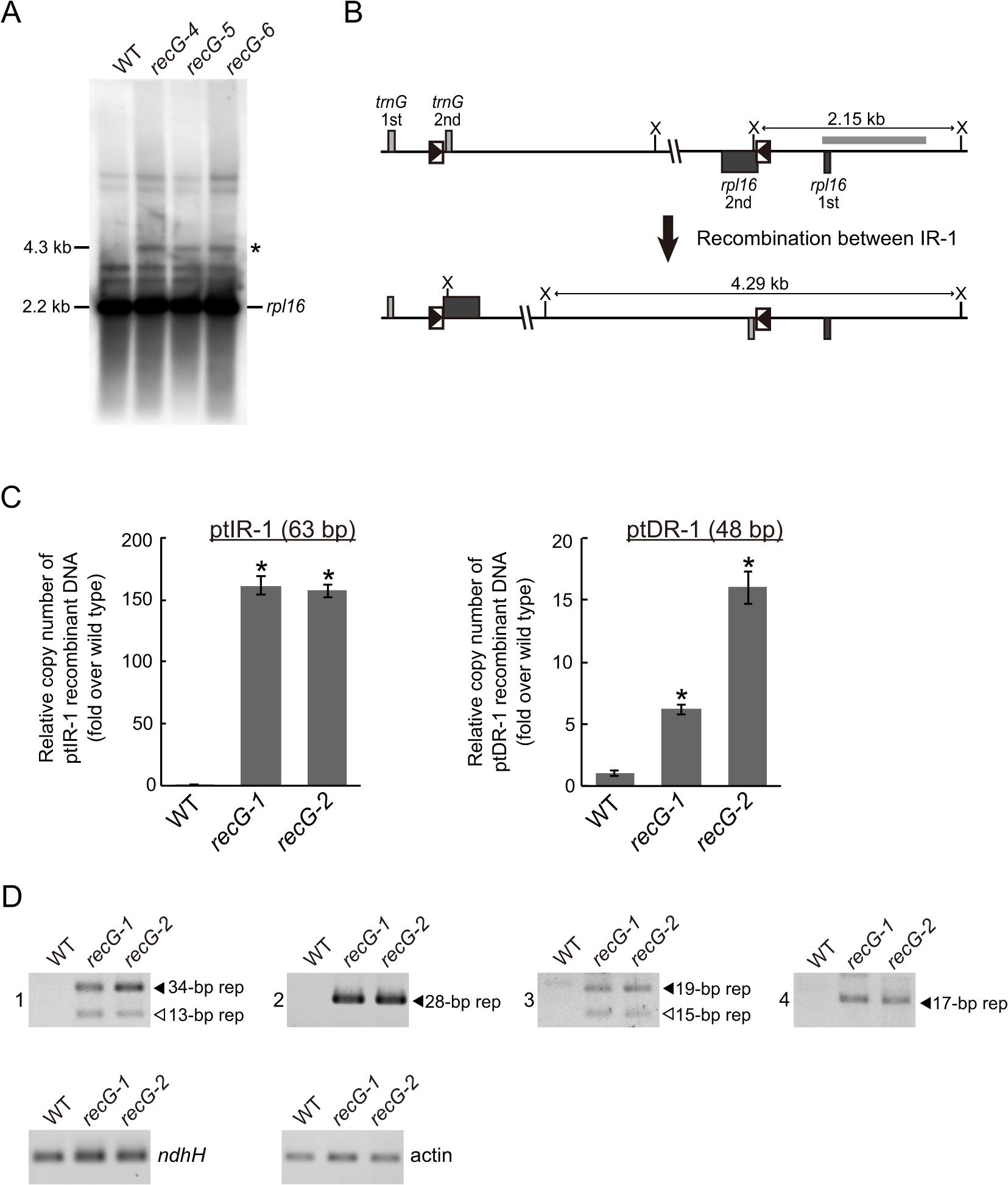 Genomic instability in <i>RECG</i> KO plastids.