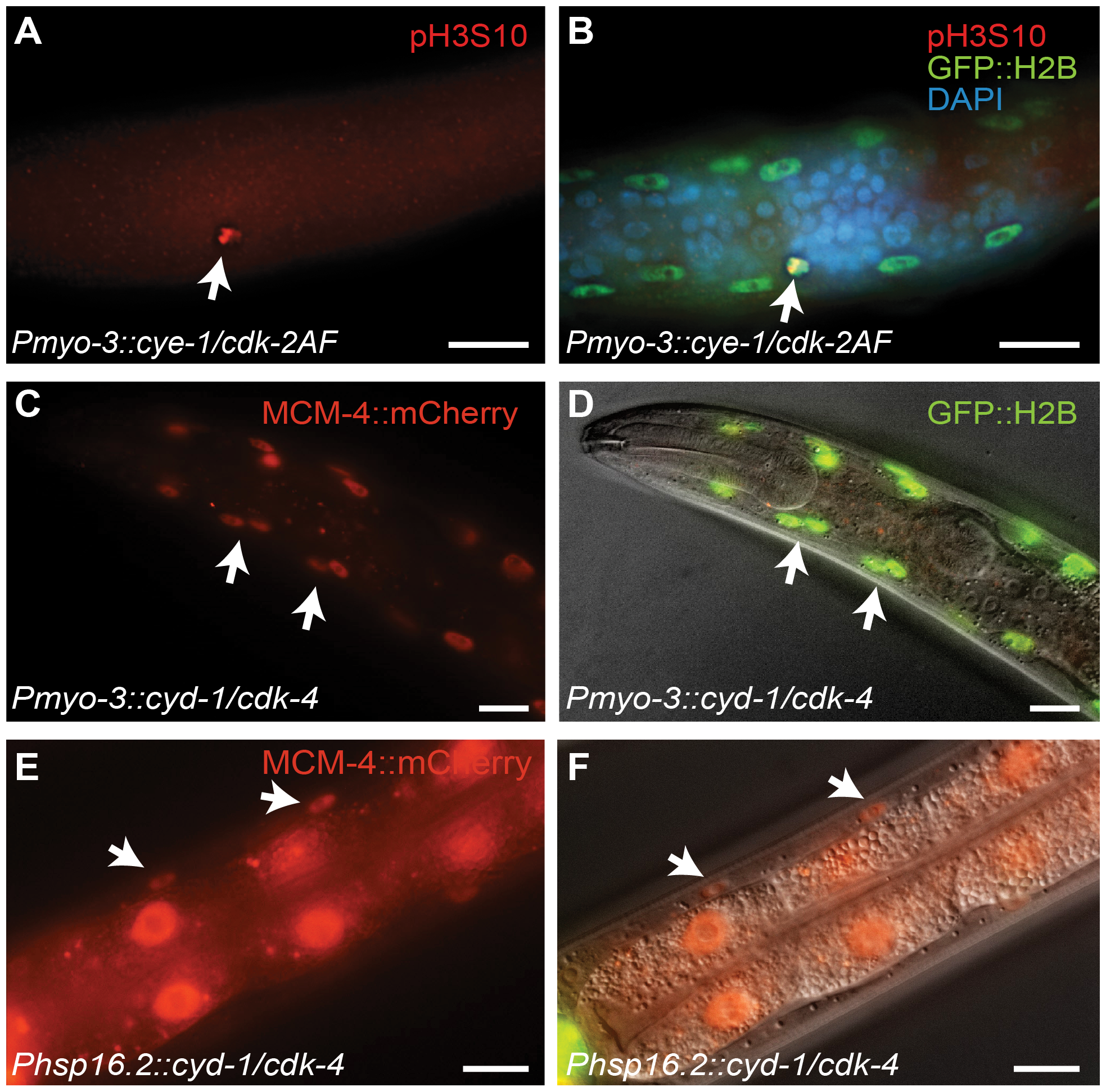 G1 Cyclin/CDK expression induces S and M phase markers in larval muscle.