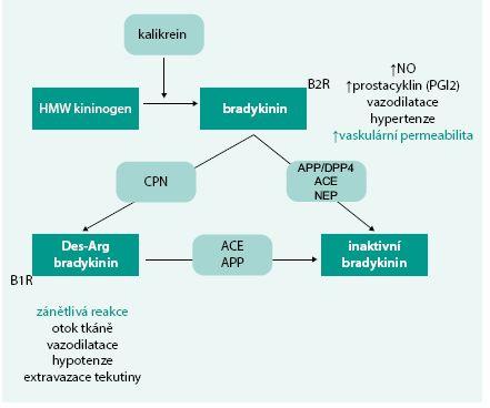 Schéma. Mechanizmy ovlivnění cévní funkce bradykininem interakcí s receptory B1R a B2R