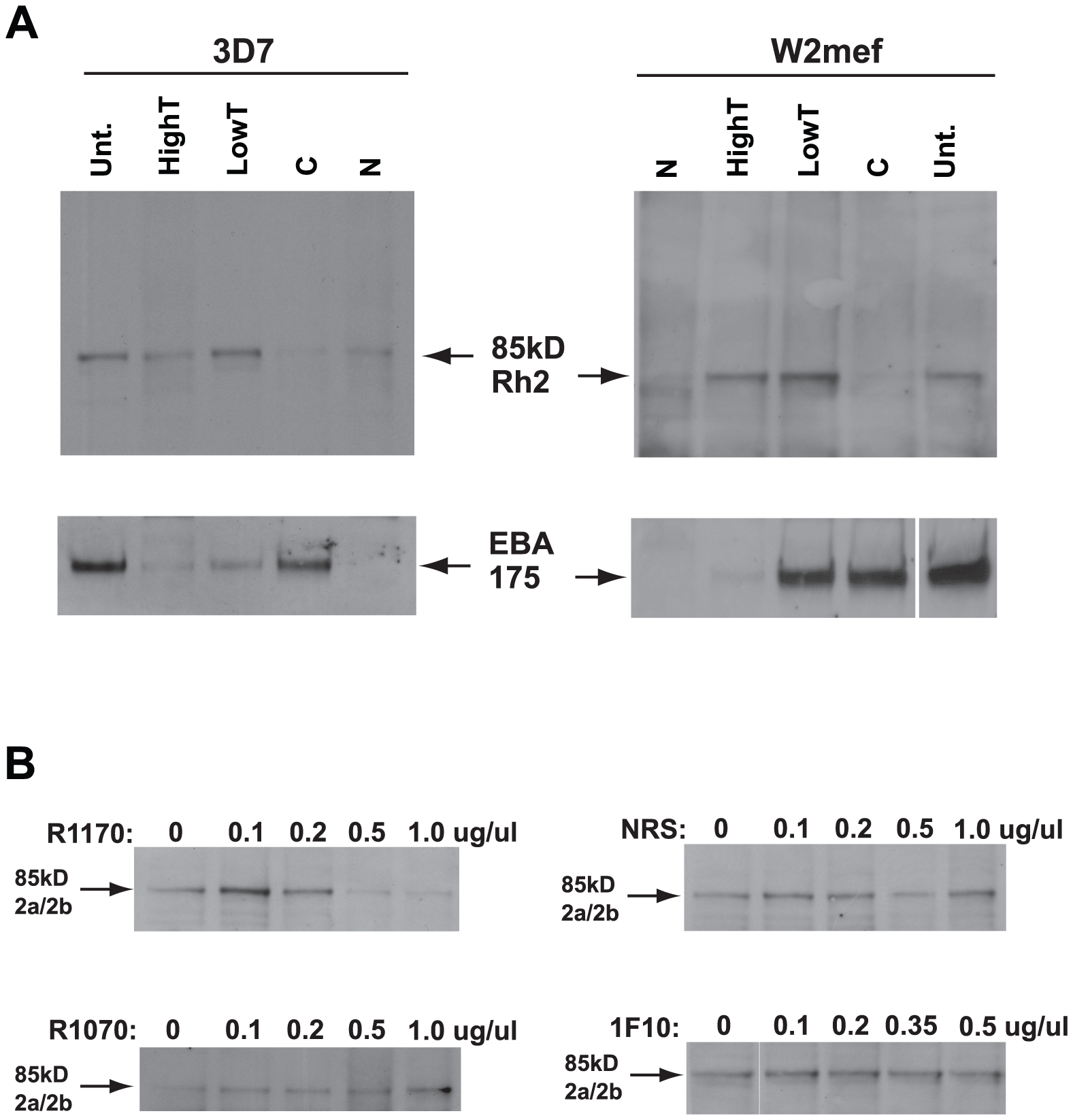The PfRh2a/b 85 kDa processed product binds erythrocytes and binding is inhibited by antibodies to the binding domain.