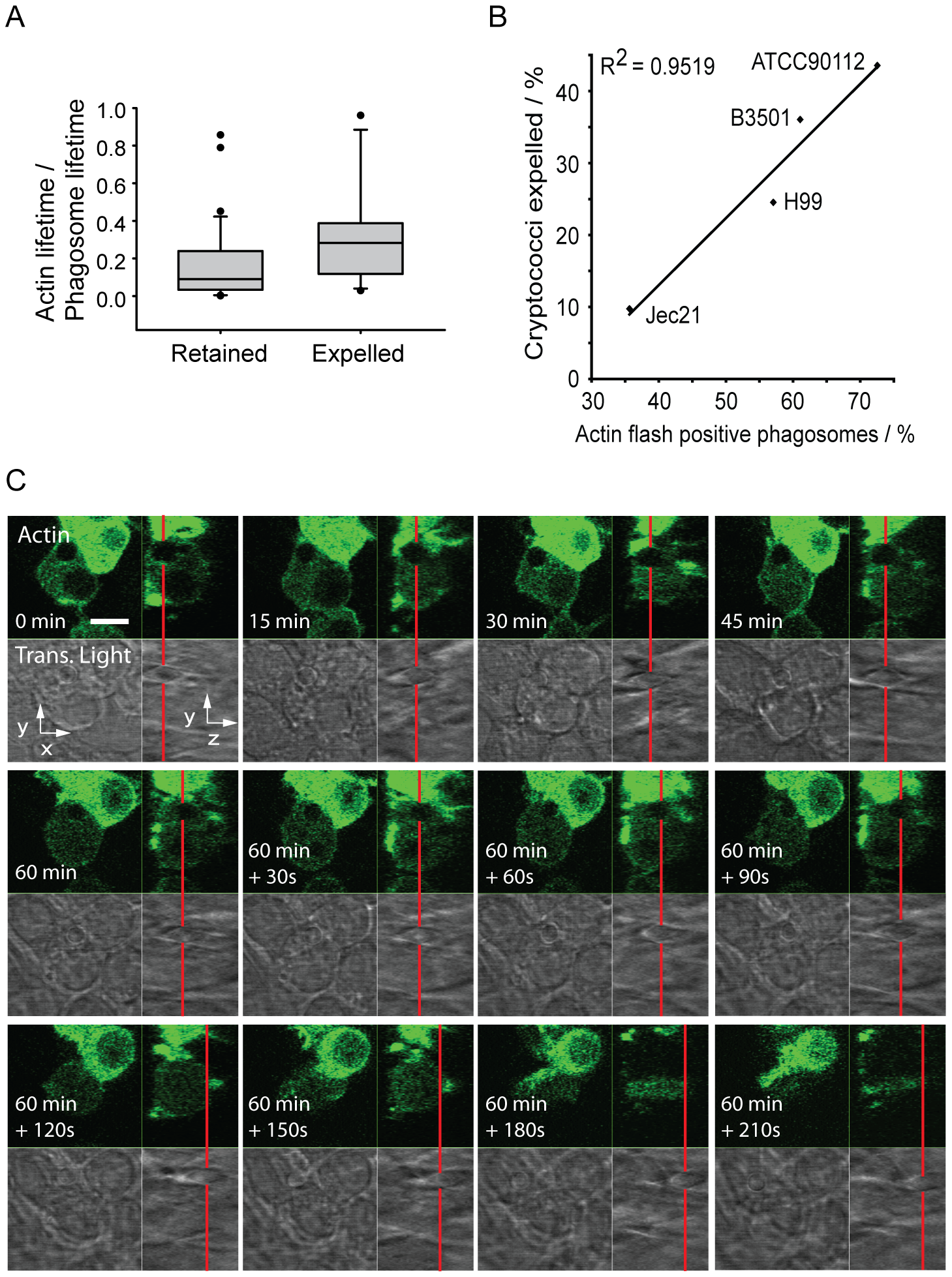 Actin flashes are positively correlated with cryptococcal expulsion but do not contribute to force generation.