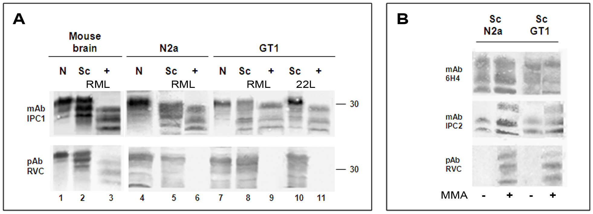 pAb RVC does not recognize PrP<sup>Sc</sup> generated in prion infected cells.