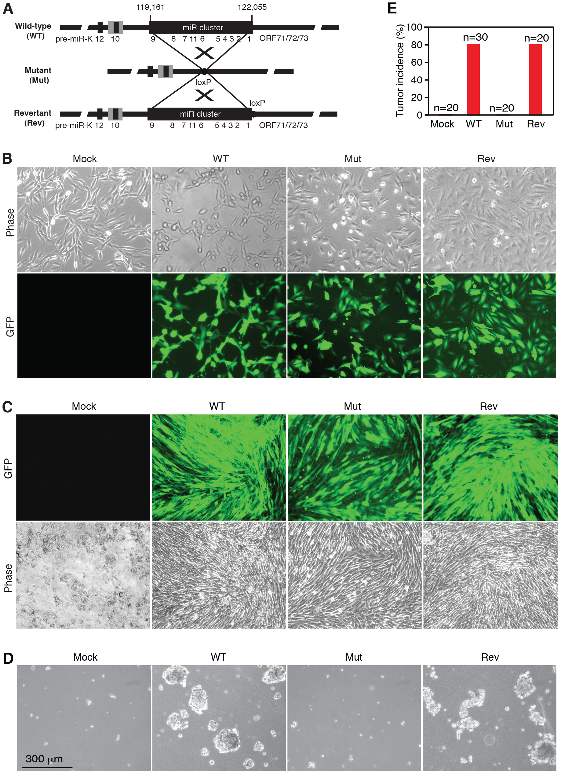 KSHV miR cluster is required for cellular transformation and tumorigenesis.