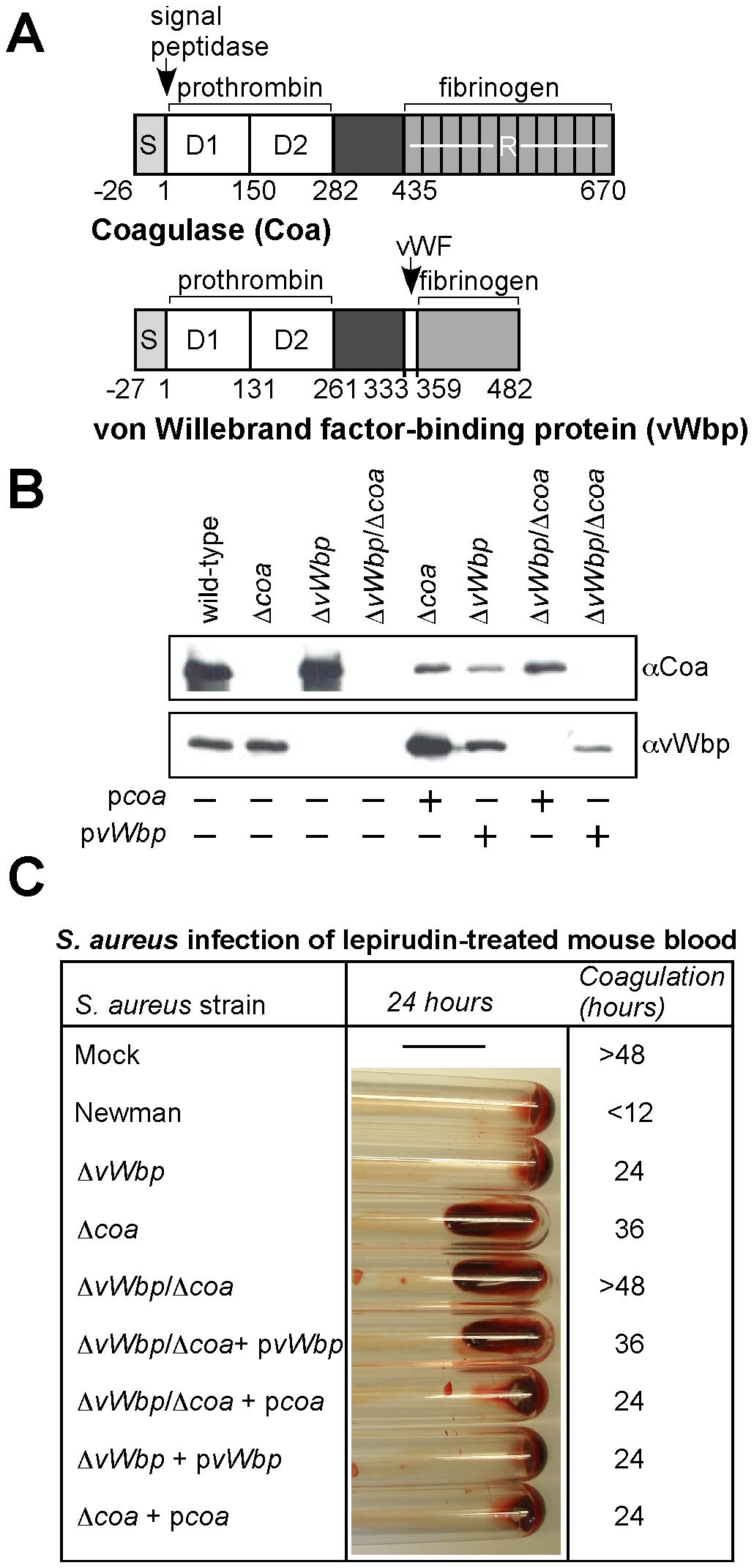 <i>Staphylococcus aureus coa</i> and <i>vWbp</i> mutants display defects in blood clotting.