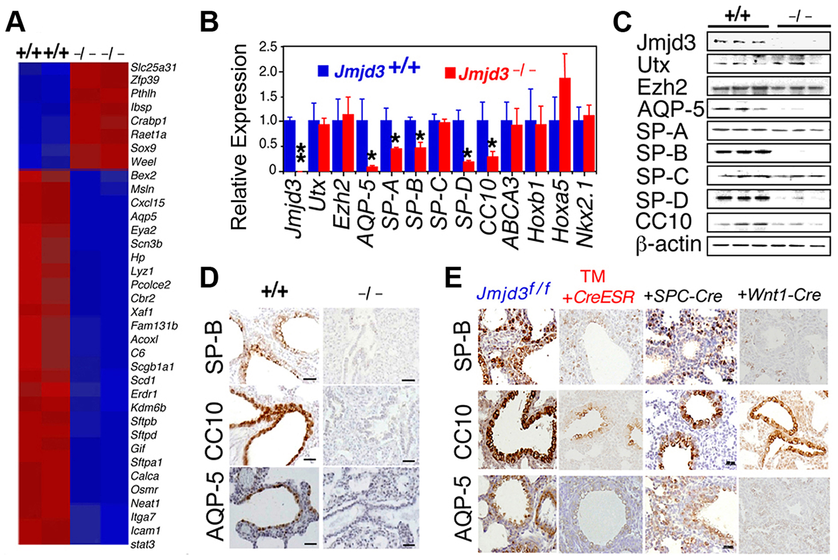 Jmjd3 regulates the expression of genetic markers of lung development.