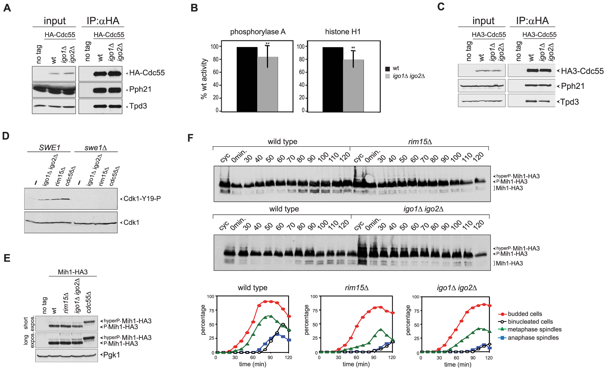 Igo proteins are required for full PP2A<sup>Cdc55</sup> activity and timely Cdk1-Tyr19 and Mih1 dephosphorylation.
