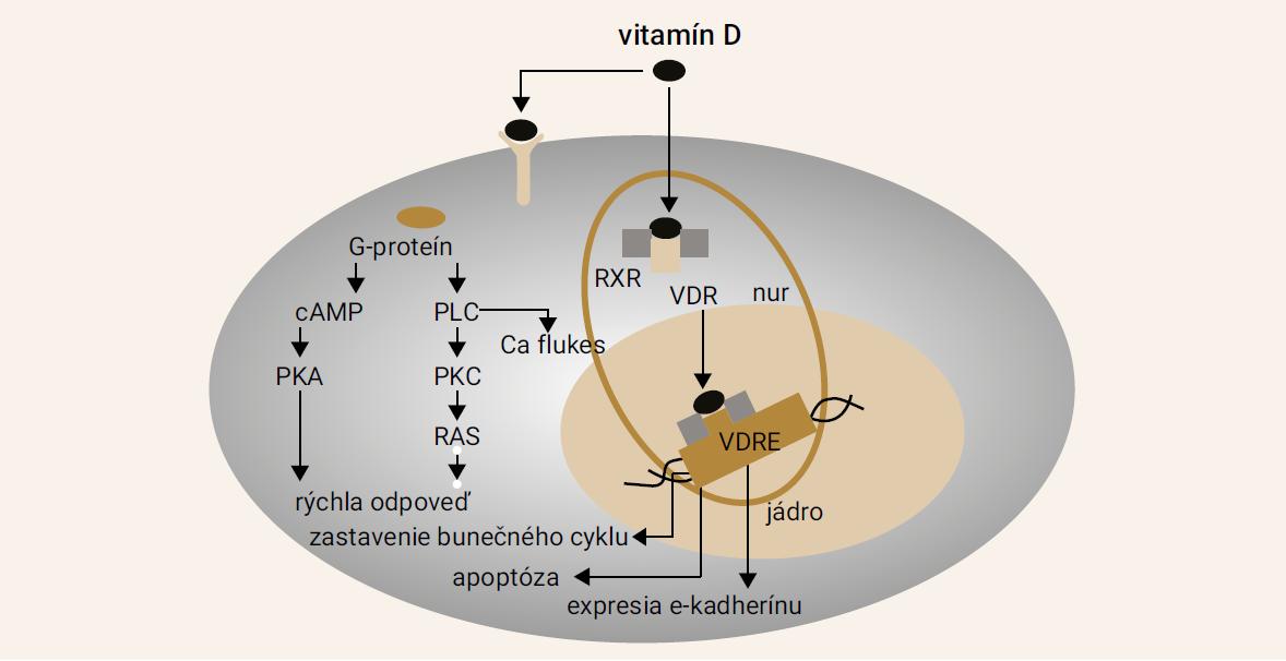 Schema 1. Efekt vitamínu D. Upravené podľa [1]