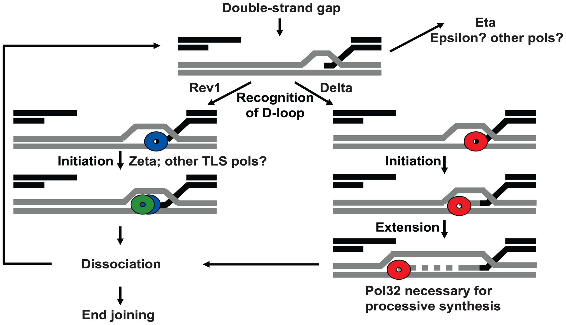 Model for polymerase action at a DSB.