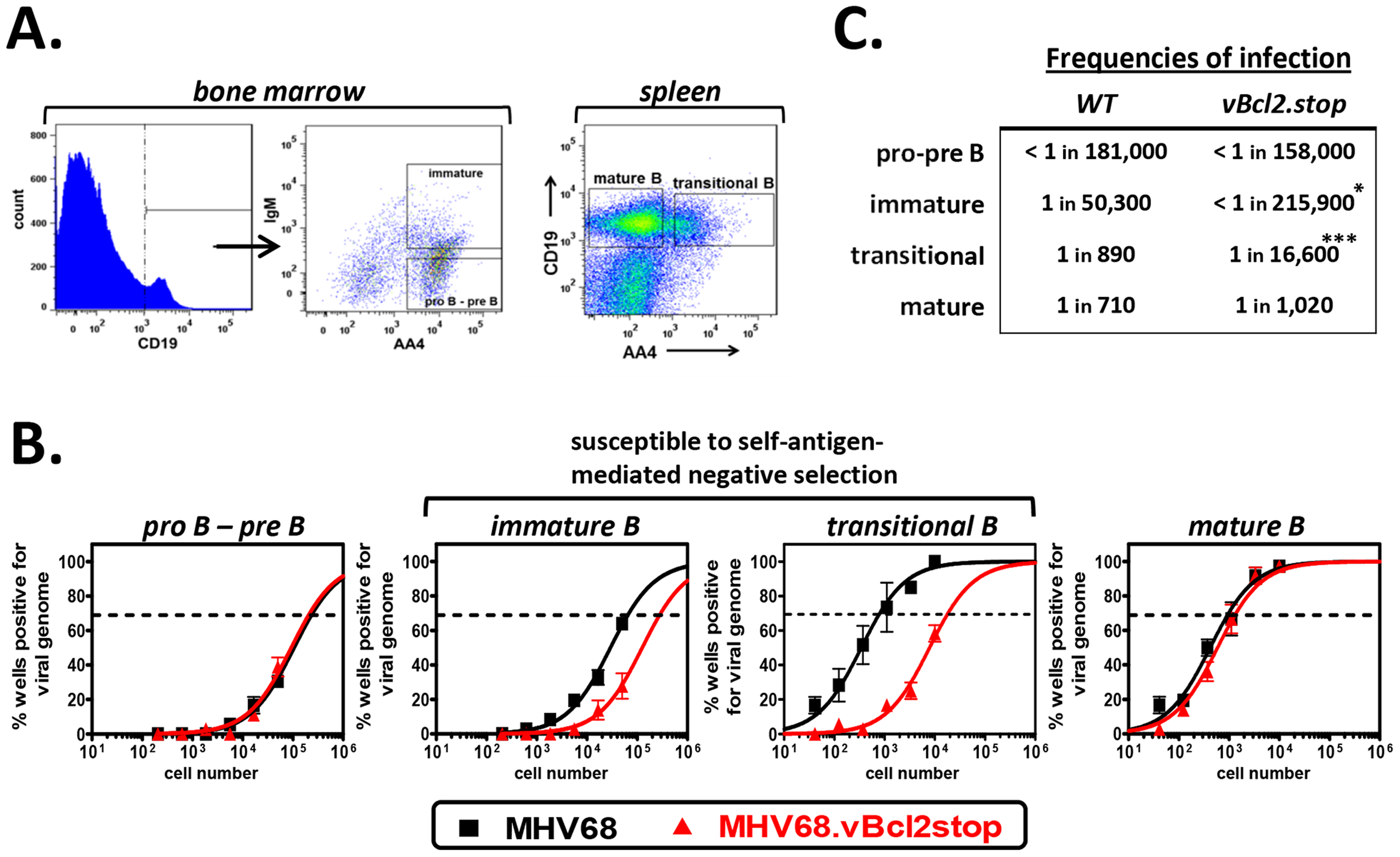MHV68.vBcl2stop is attenuated in B cells undergoing negative selection.