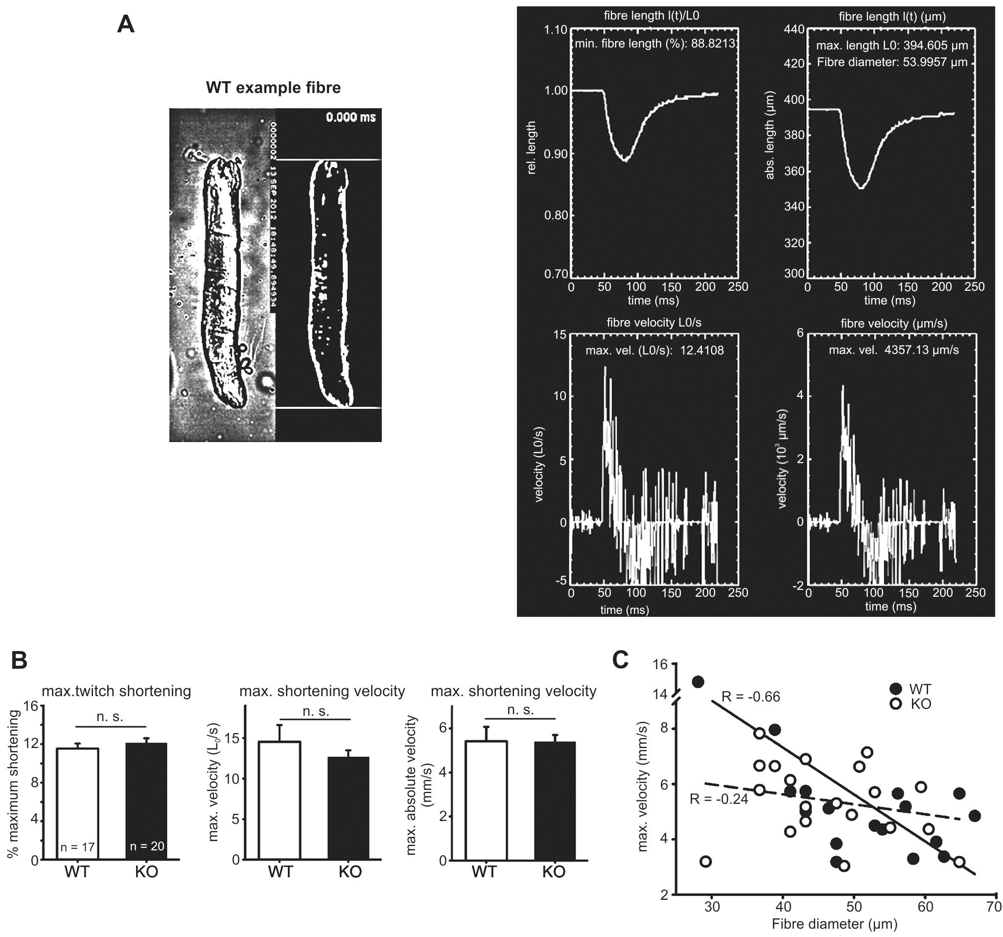 Speed of shortening in FDB fibres of WT and <i>Actn3</i> KO mice.