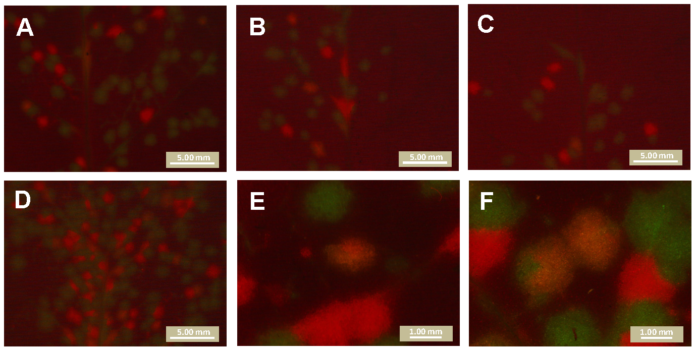 Mixed-genotype foci of primary infection in the inoculated leaf.