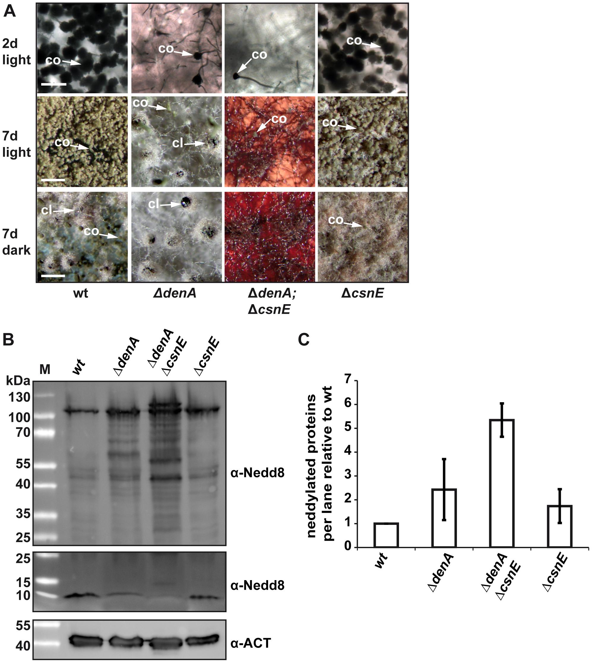 Double knock-out of the deneddylase encoding genes <i>denA</i> and <i>csnE</i> abolished fungal development.