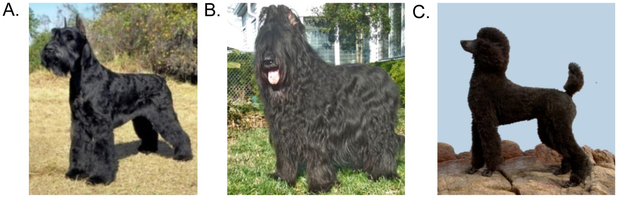Multiple breeds have increased risk of SCCD.