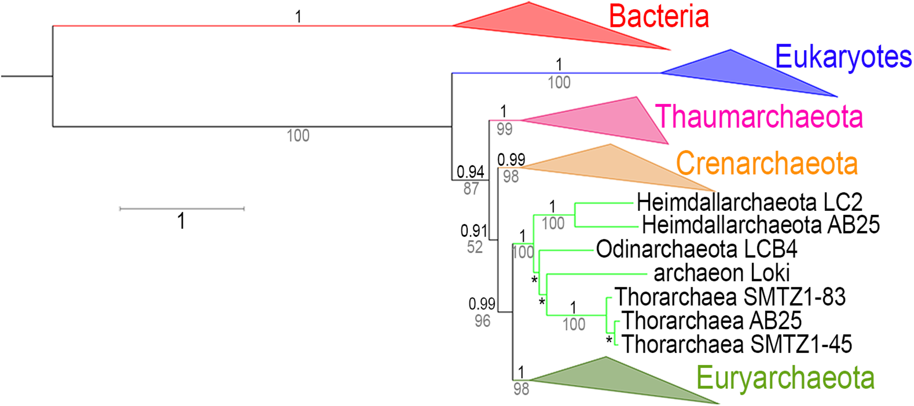 RNA polymerase phylogeny with the Asgards archaea.