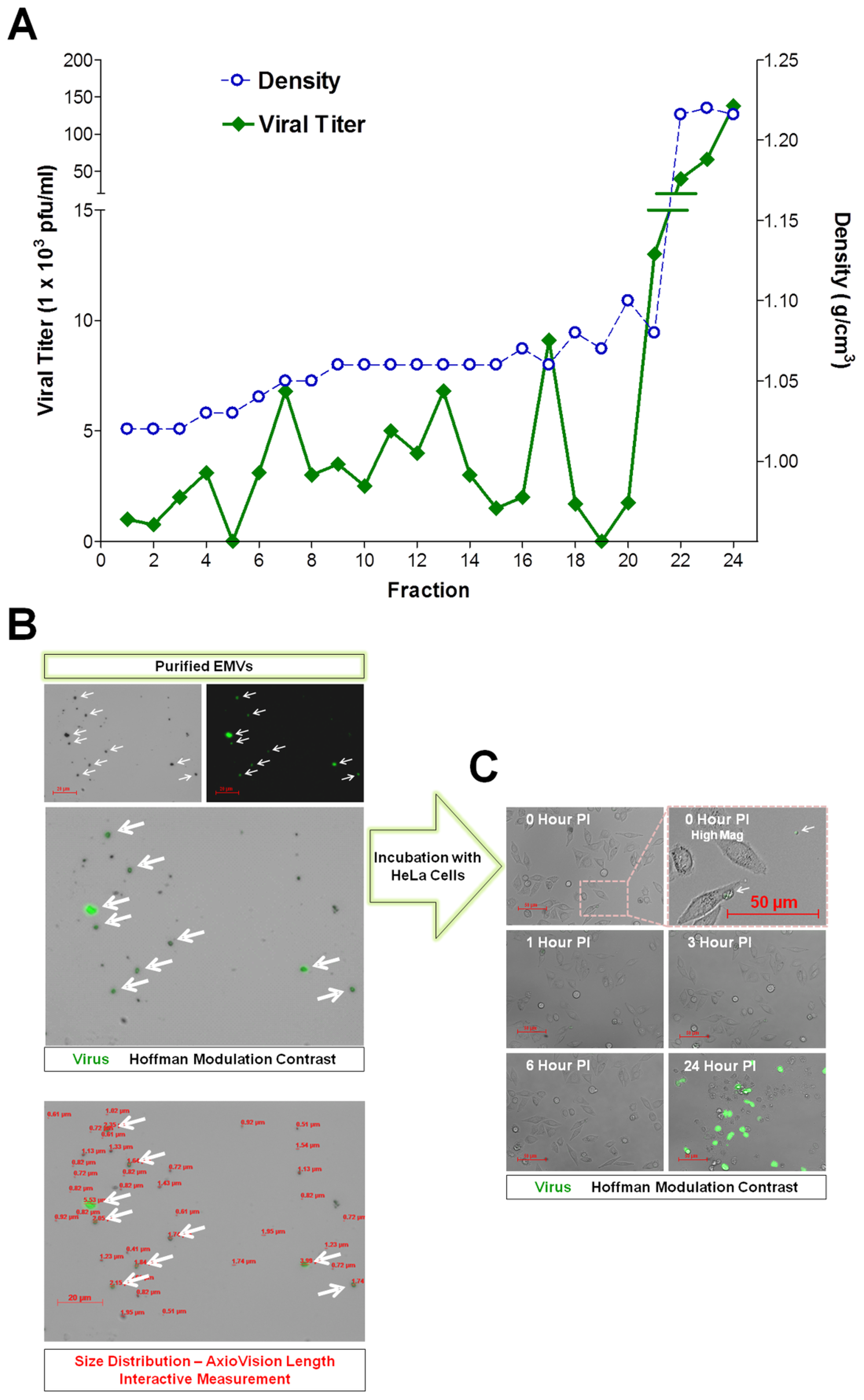 Purified EMVs isolated from infected progenitor cells contained infectious virus.