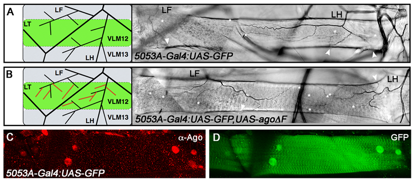 <i>ago</i> acts non-tracheal cell autonomously to regulate terminal branching.