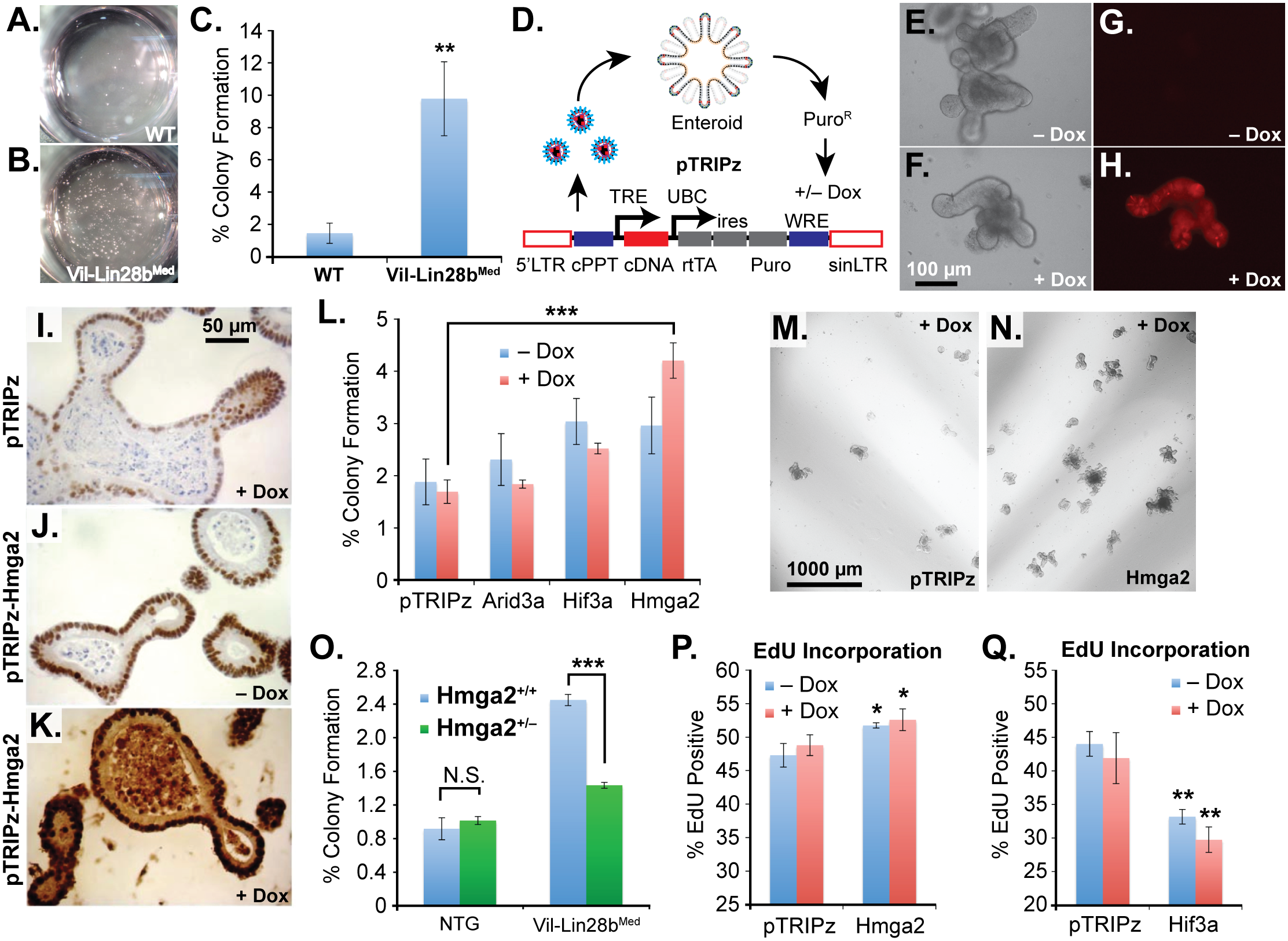 Hmga2 mediates Lin28b effects on stem cell colony formation and enteroid proliferation.