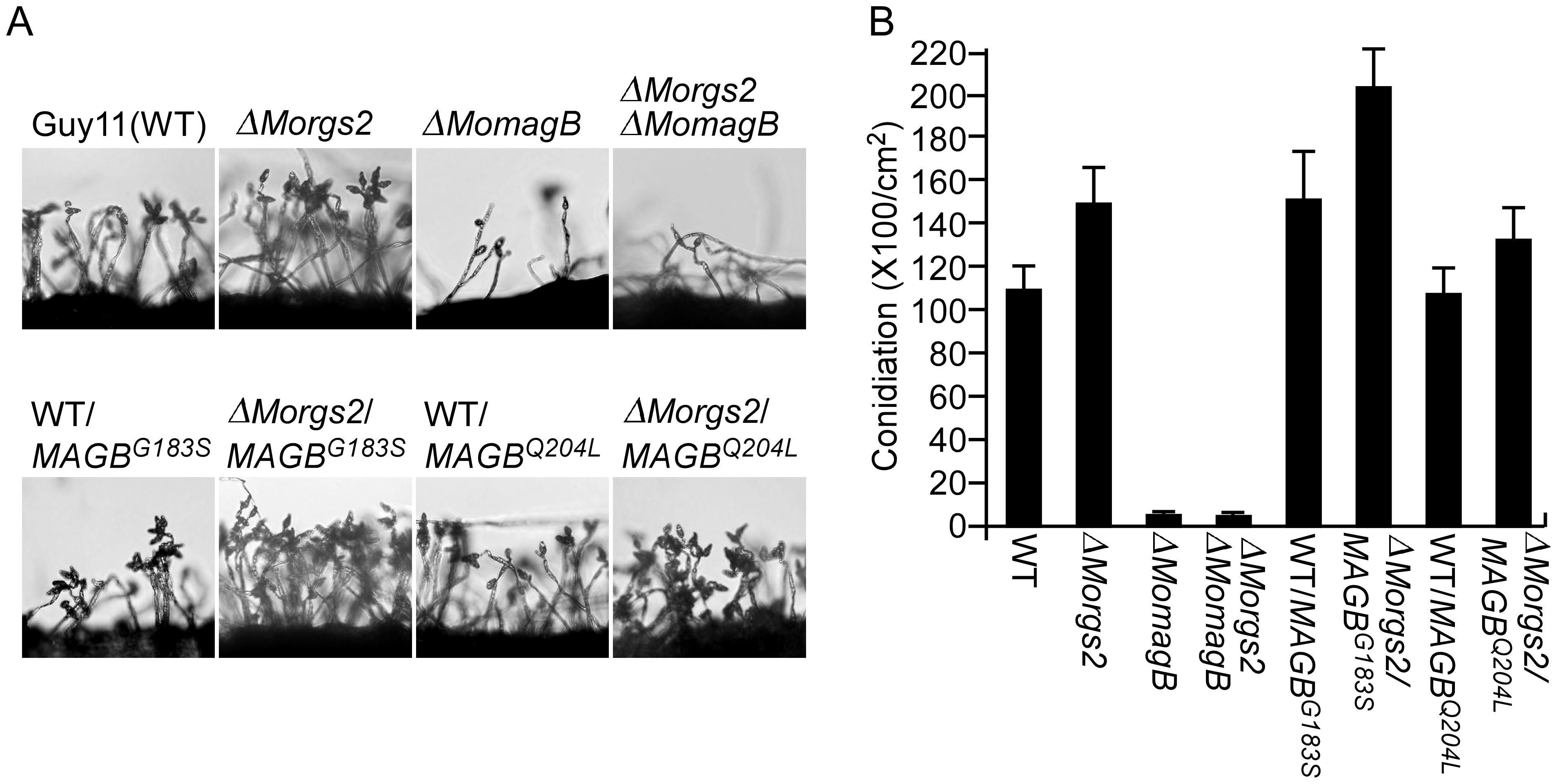 MoRgs2 regulates asexual development upstream of MoMagB.