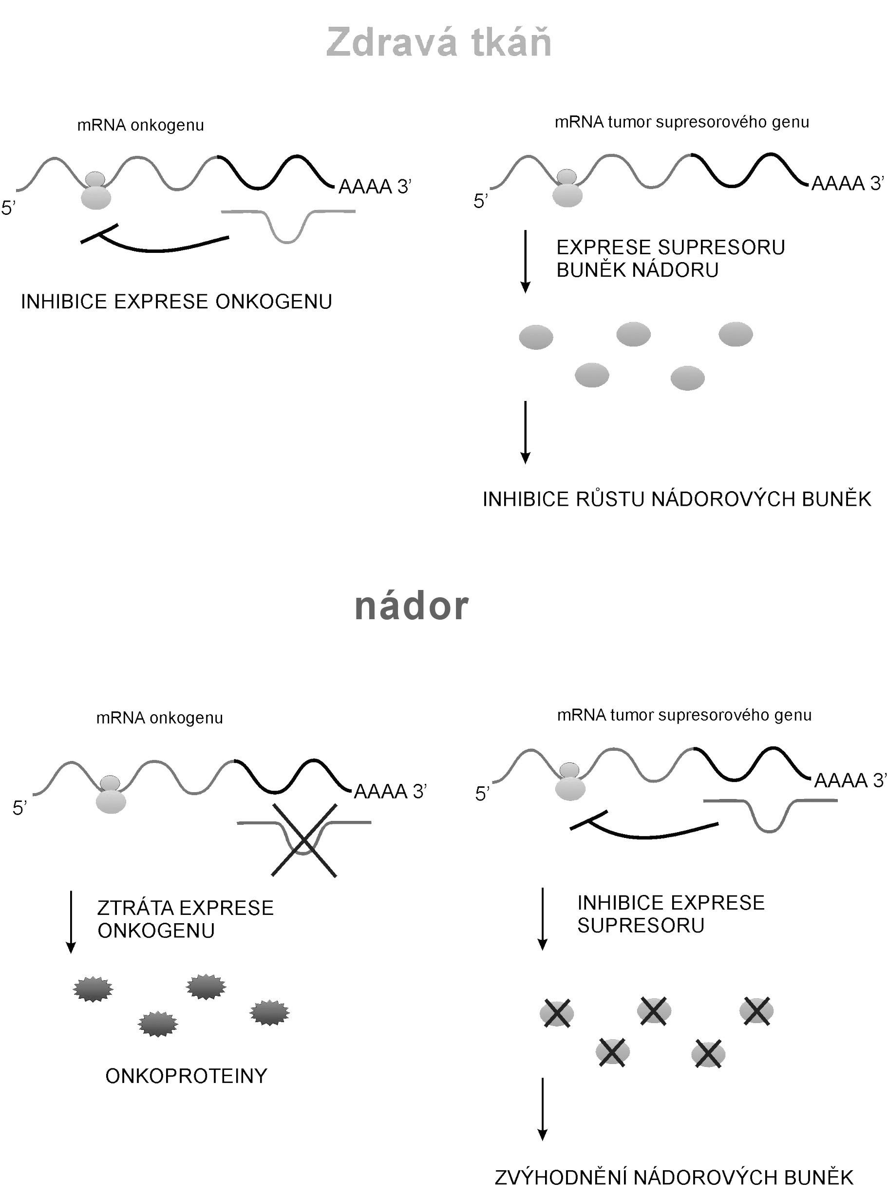 Obecné schéma kontroly nádorového bujení molekulami miRNA