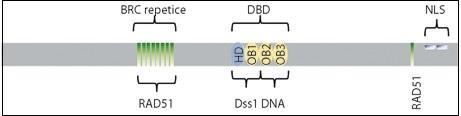 Funkční domény proteinu BRCA2.