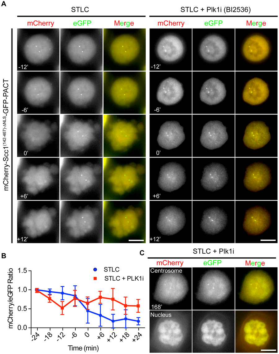 Plk1 is important for cleavage of the Scc1 sensor.