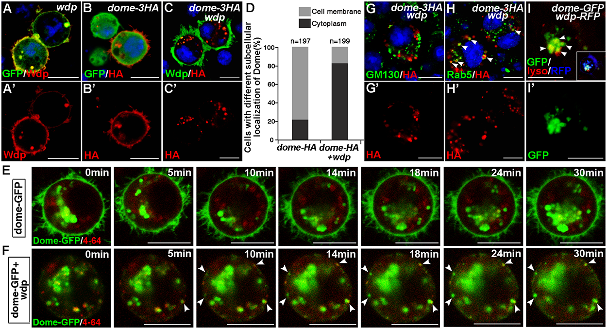Wdp expression promotes Dome endocytosis and alters its subcellular localization in S2 cells.