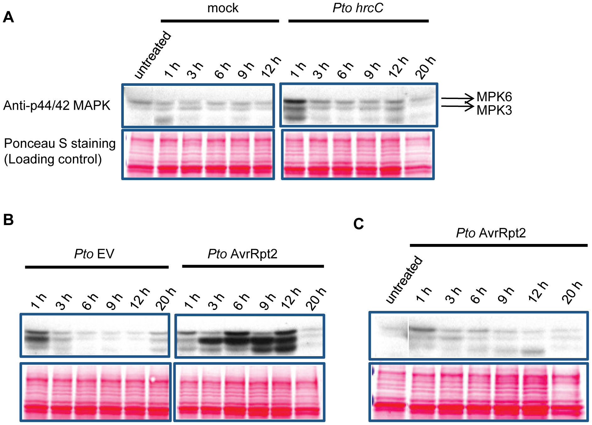 MAPK activation is sustained in ETI but transient in non-ETI conditions.