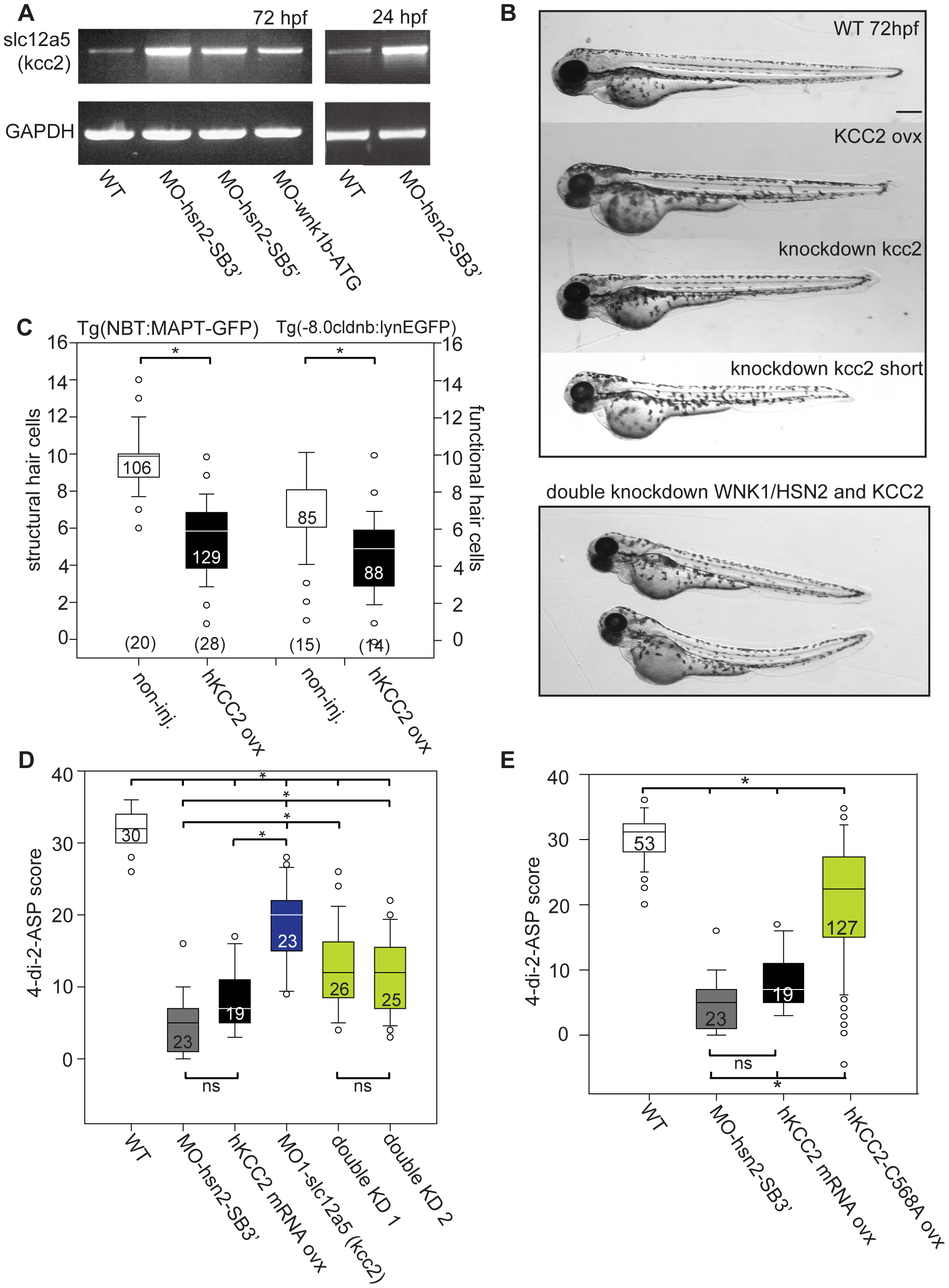 KCC2 is overexpressed in WNK1/HSN2 knockdown embryos.