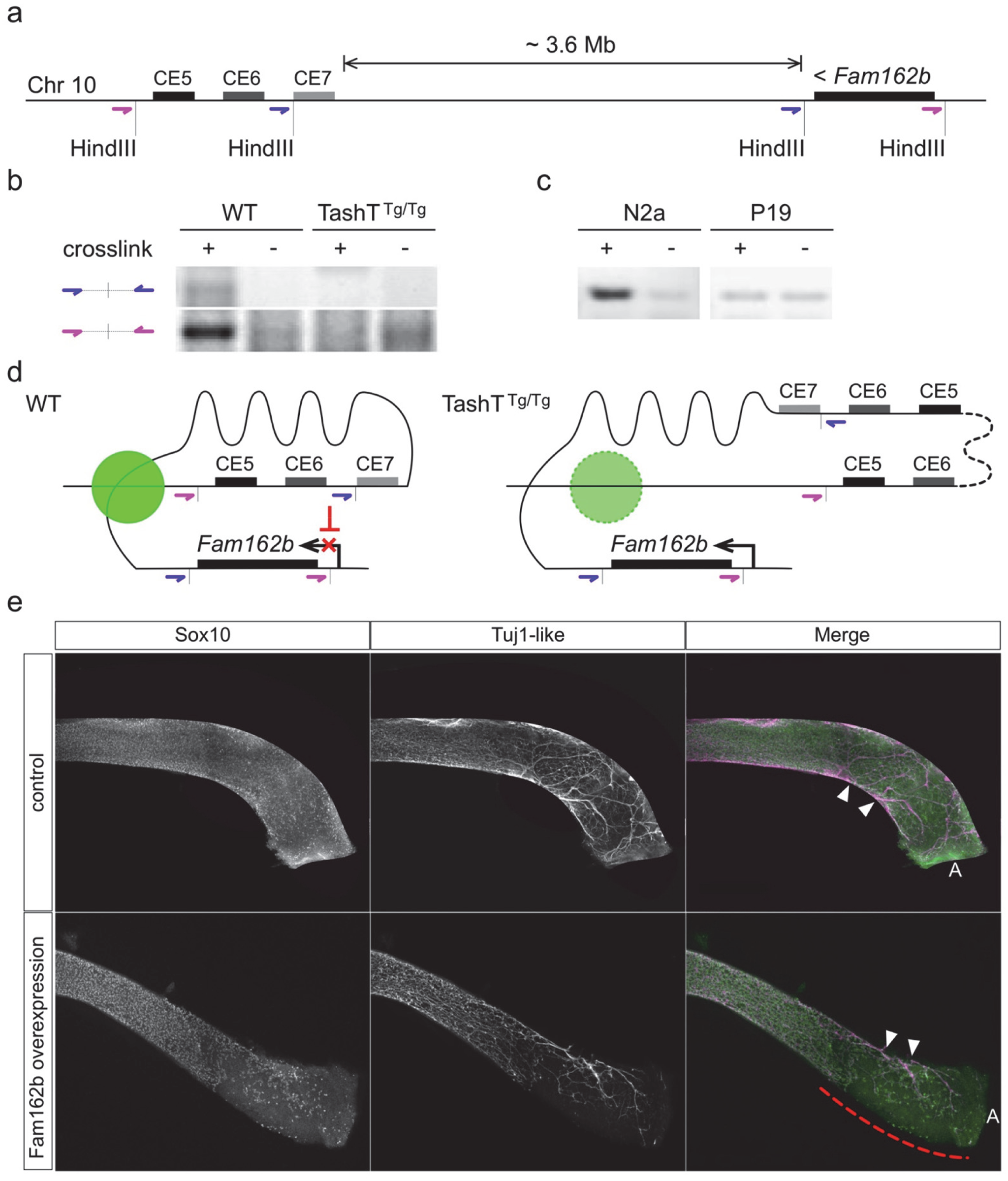 Transgene insertion-mediated relief of <i>Fam162b</i> repression in NCC contributes to the TashT ENS defect.