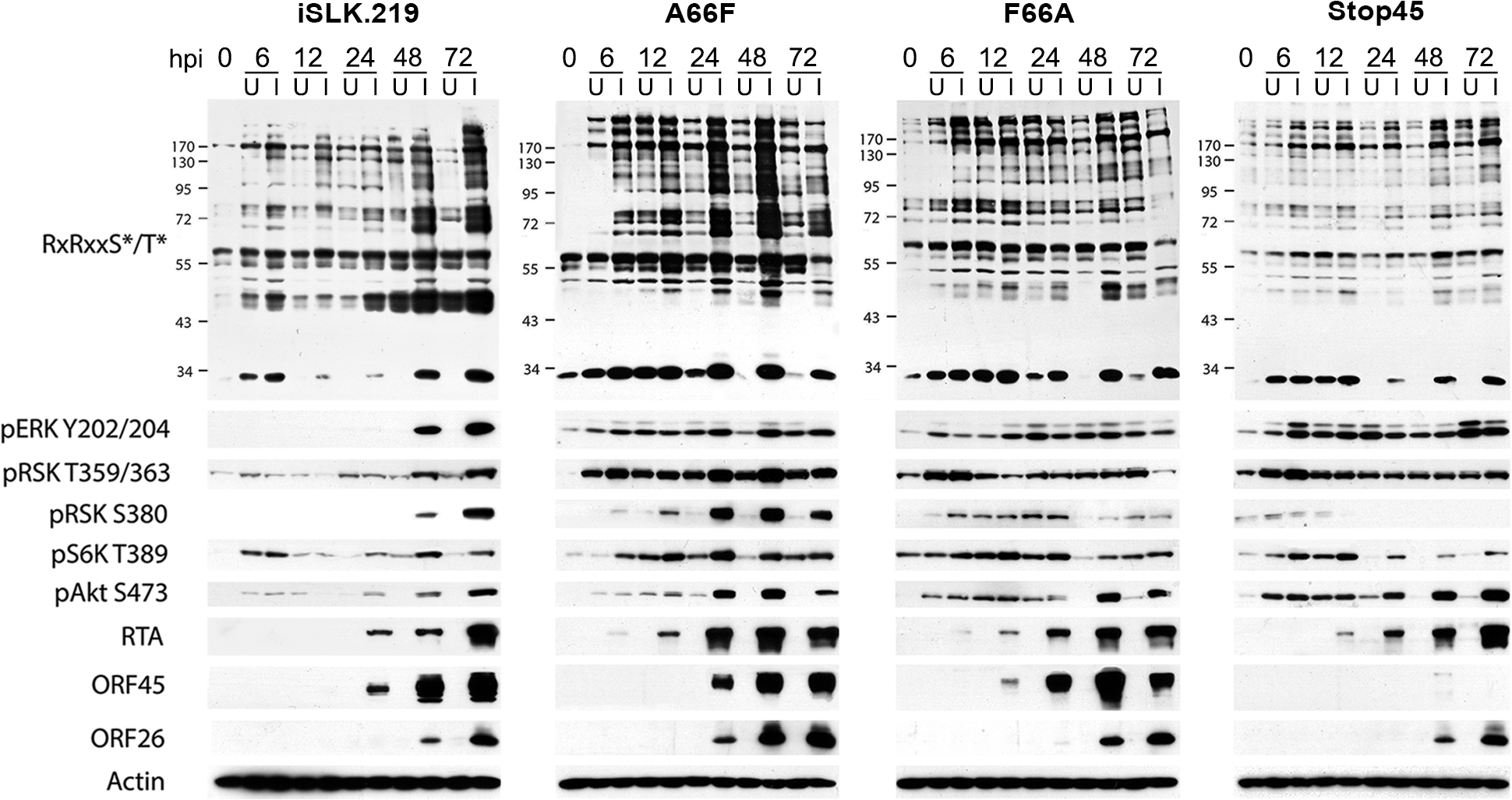 The increased phosphorylation of putative RSK substrates induced by KSHV lytic reactivation is dramatically reduced by ORF45 mutation or deletion.