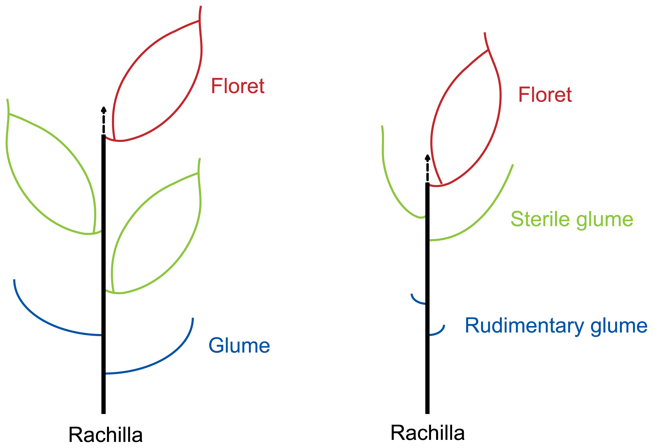 Diagrammatic representation of the spikelets of typical grass with three florets (left) and rice (right).