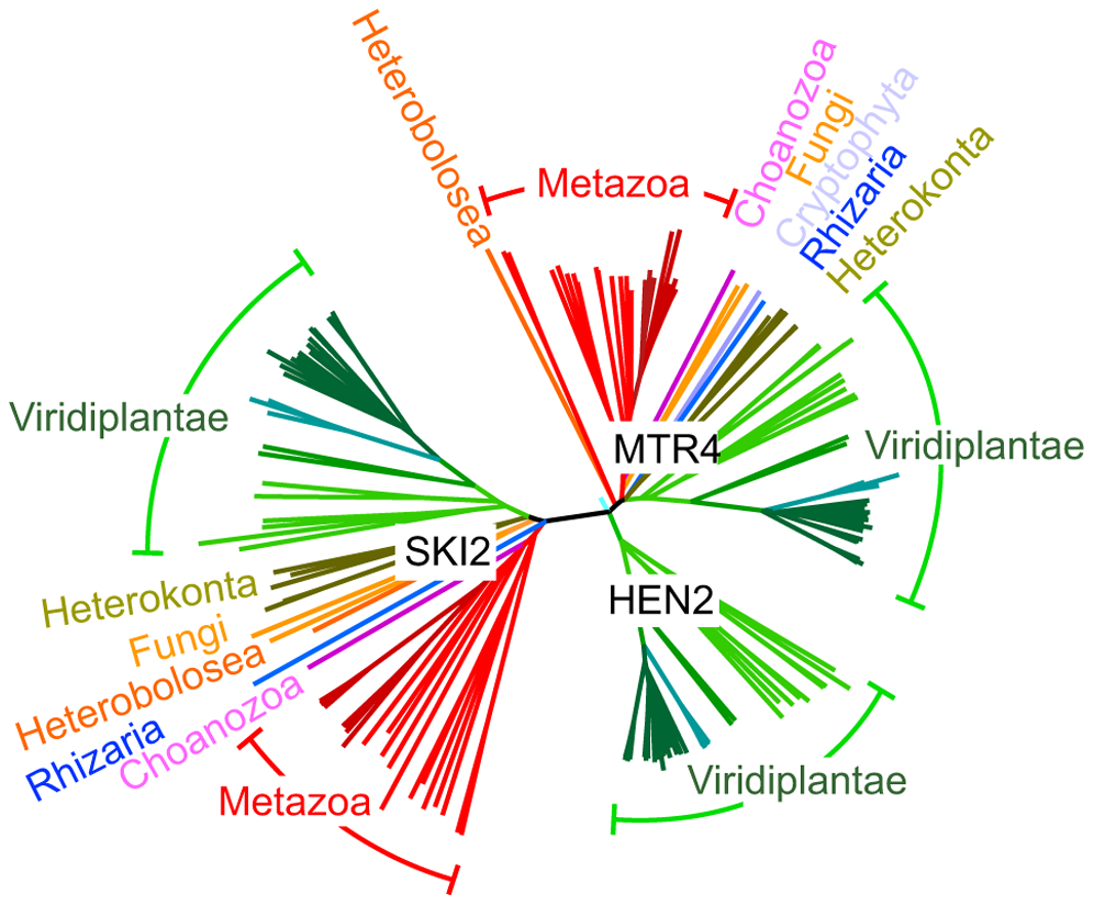 HEN2 proteins are restricted to the green lineage.