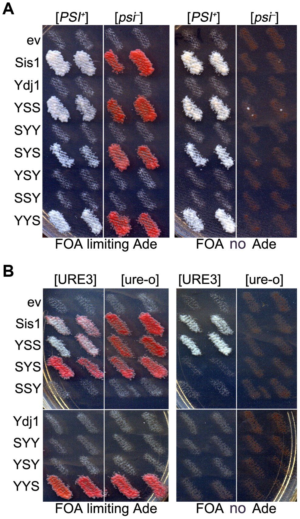 Functions of Sis1/Ydj1 hybrids in place of Sis1.