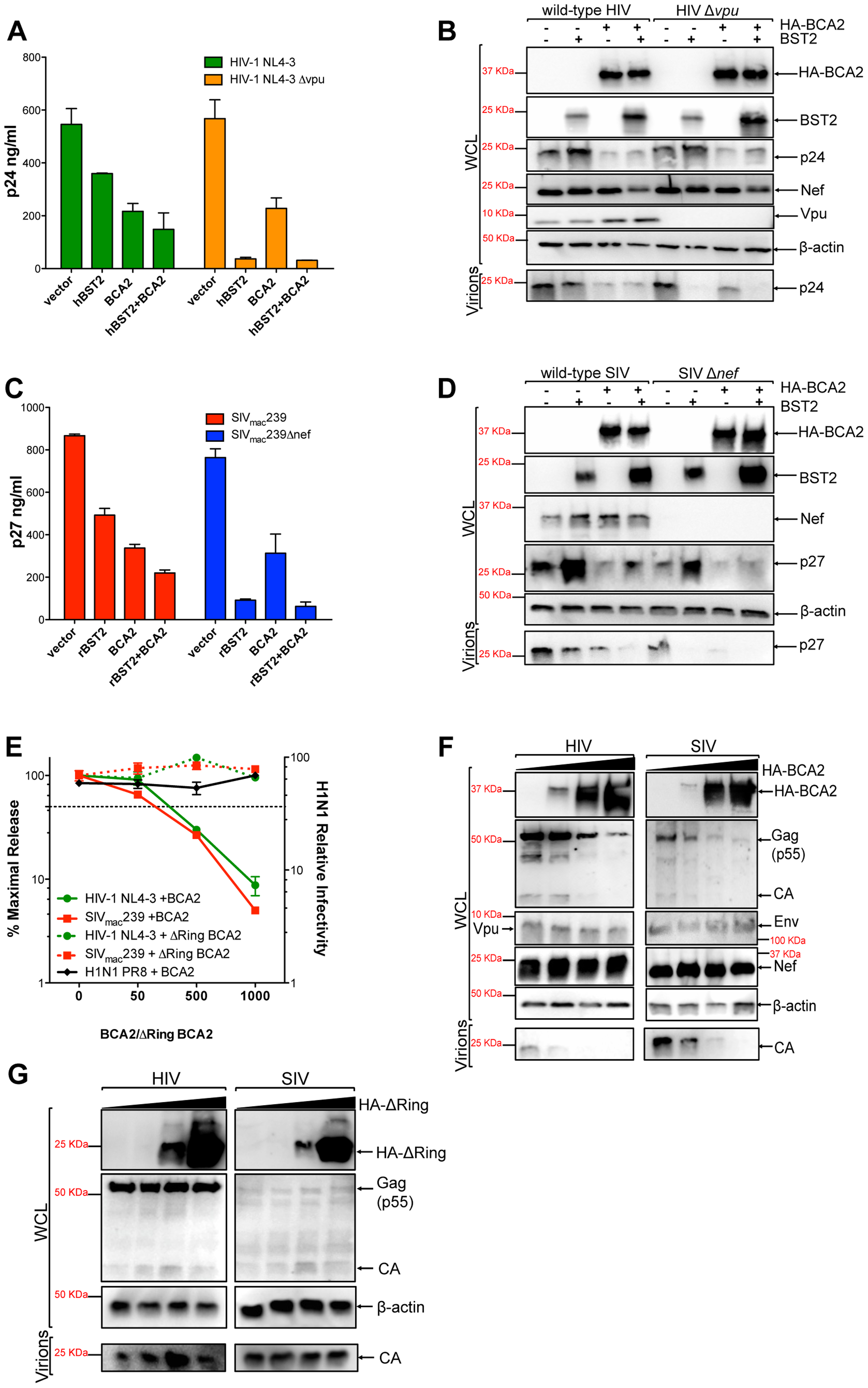 BCA2 has tetherin-independent antiviral activity.